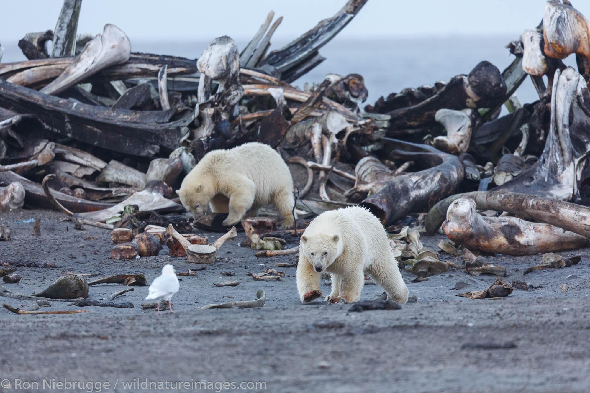 Polar bears (Ursus maritimus) at a whale bone pile,  Arctic National Wildlife Refuge, Alaska.