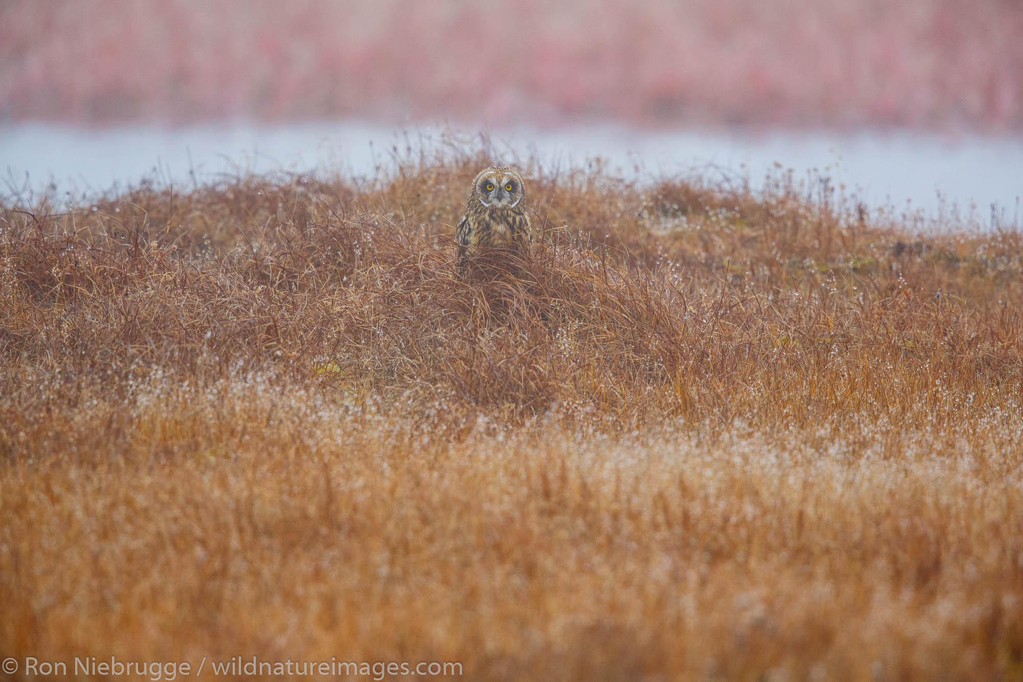 Short-eared owl (Asio flammeus) ,  Arctic National Wildlife Refuge, Alaska.