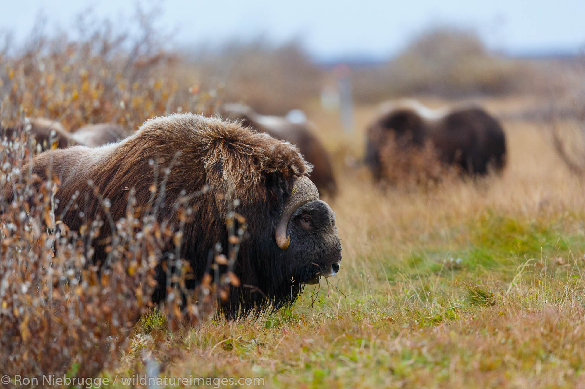 Muskox (Ovibos moschatus),  Arctic National Wildlife Refuge, Alaska.