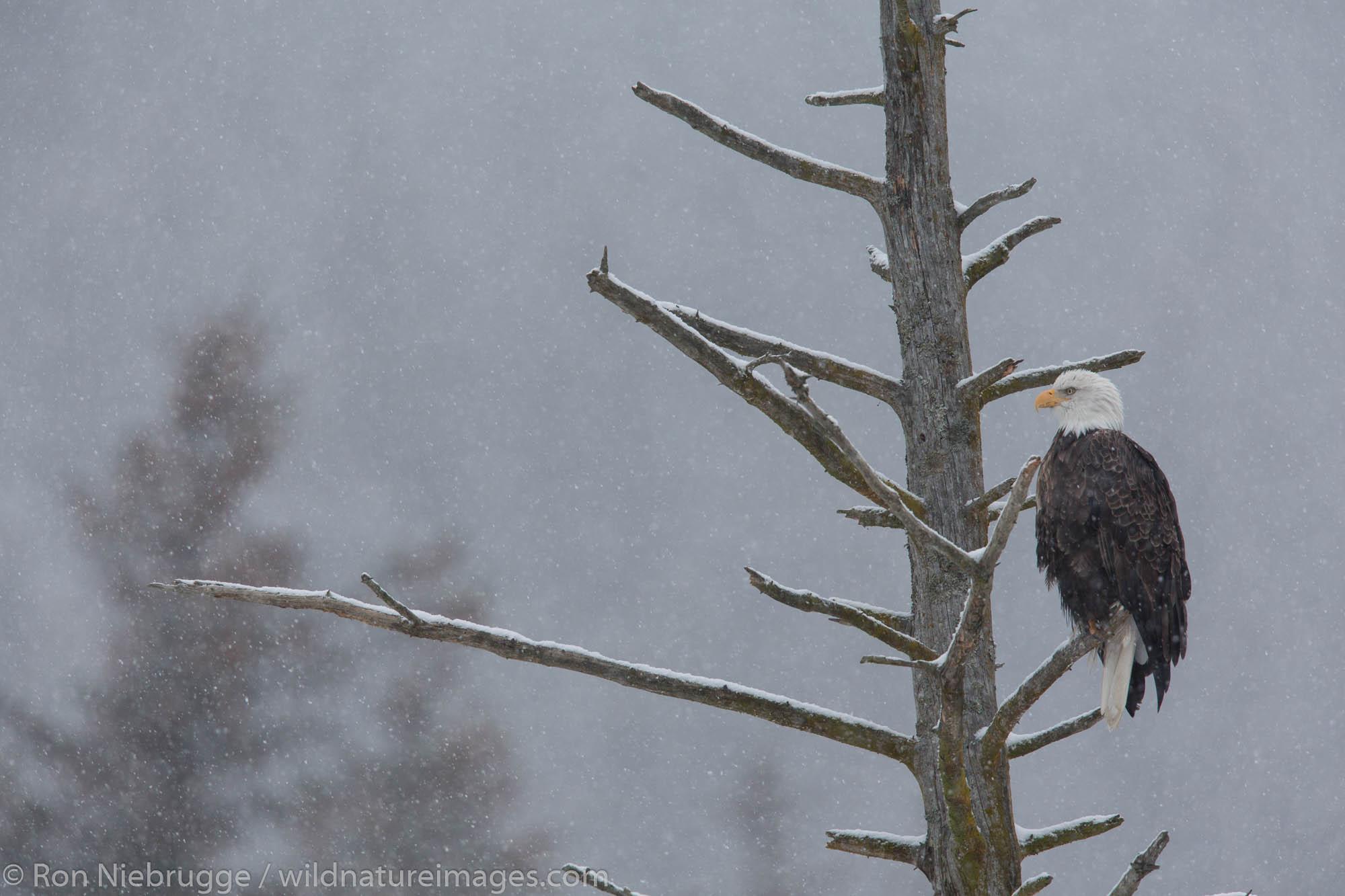 Bald eagle, Resurrection Bay, Seward, Alaska.