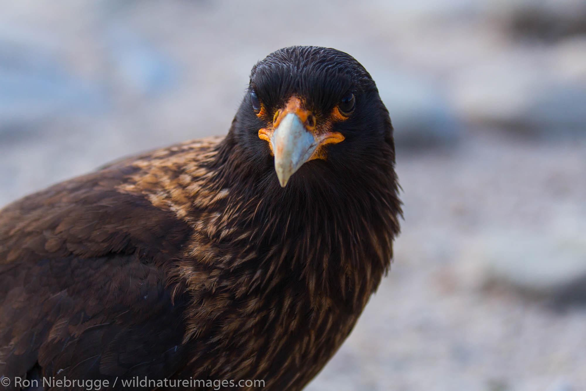 Striated Caracara, New Island, Falkland Islands.