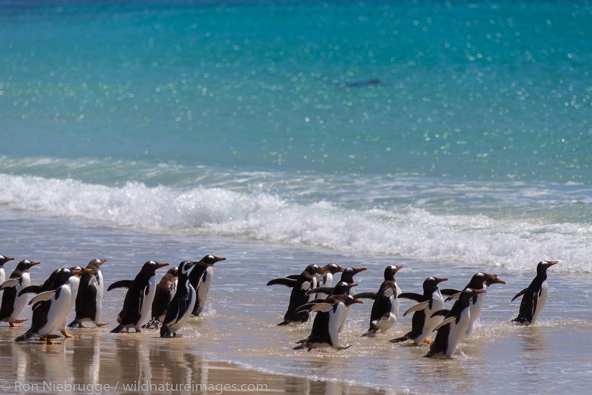 Gentoo and Magellanic penguins, New Island, Falkland Islands.