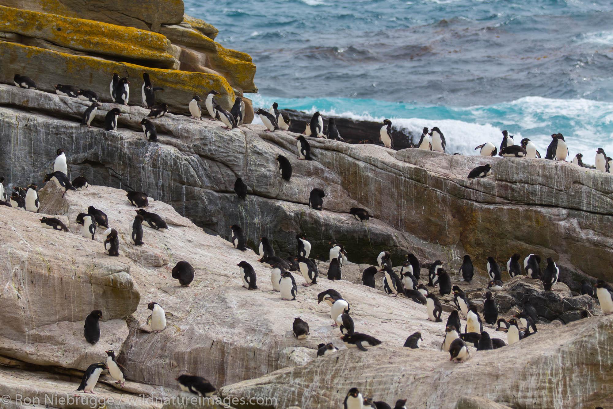 Rockhopper penguin colony, New Island, Falkland Islands.