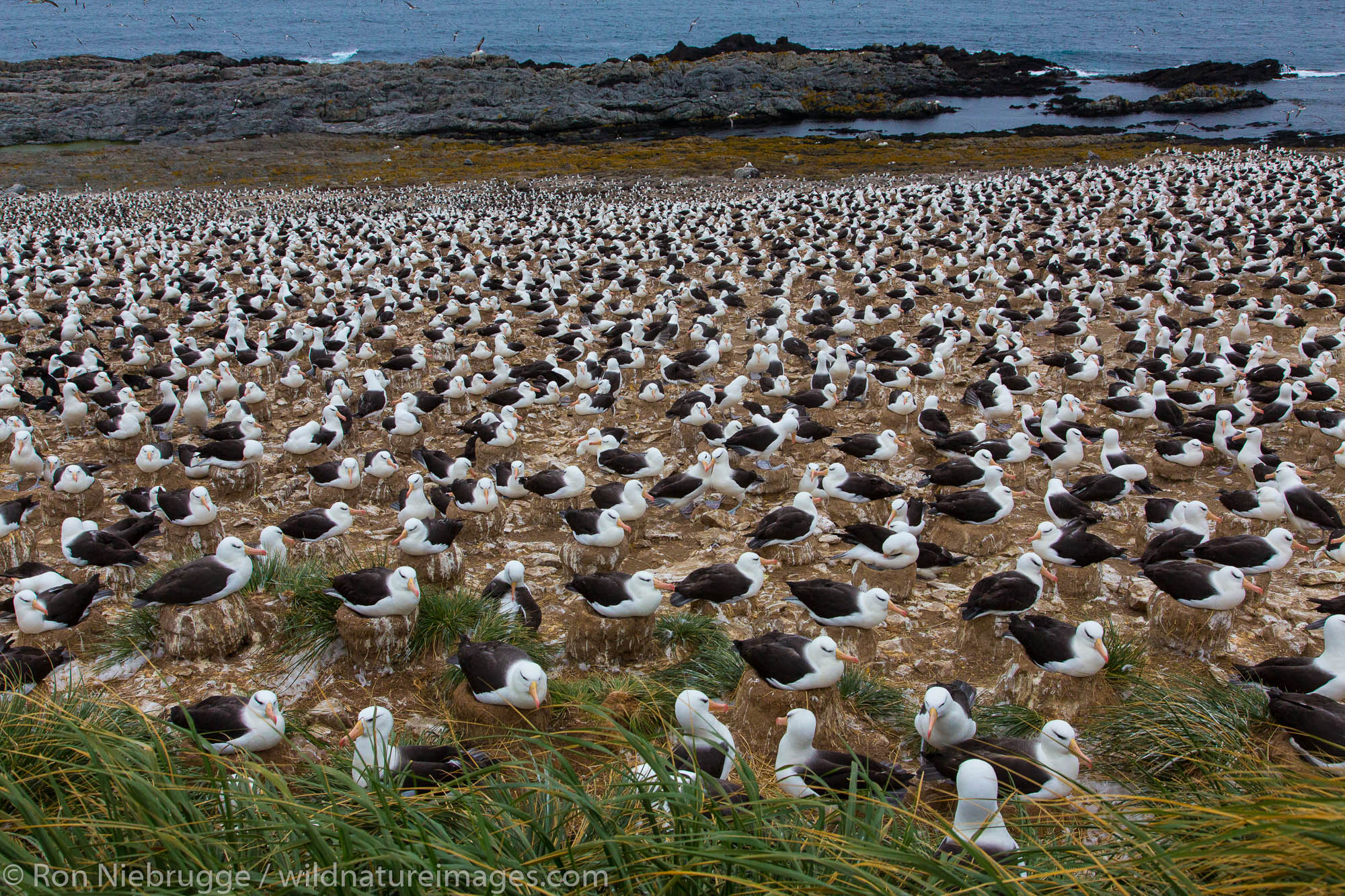 Black-browed albatross colony, Steeple Jason Island, Falklands.