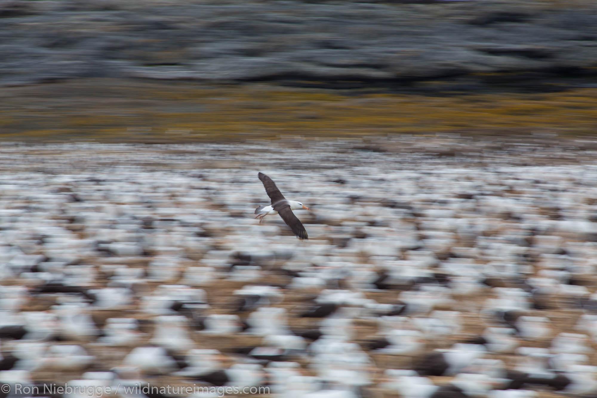 Black-browed albatross colony, Steeple Jason Island, Falklands.