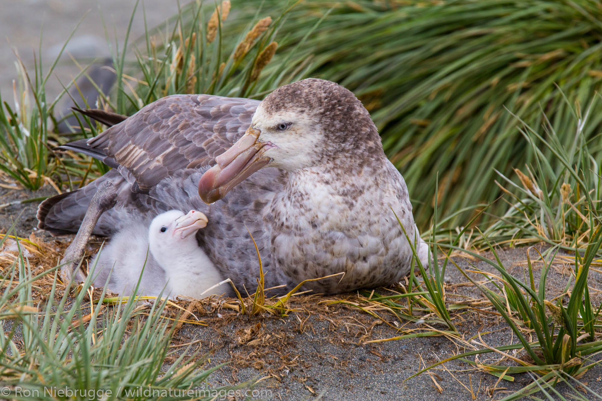 Nesting Northern Giant Petrel, Salisbury Plain, South Georgia, Antarctica.