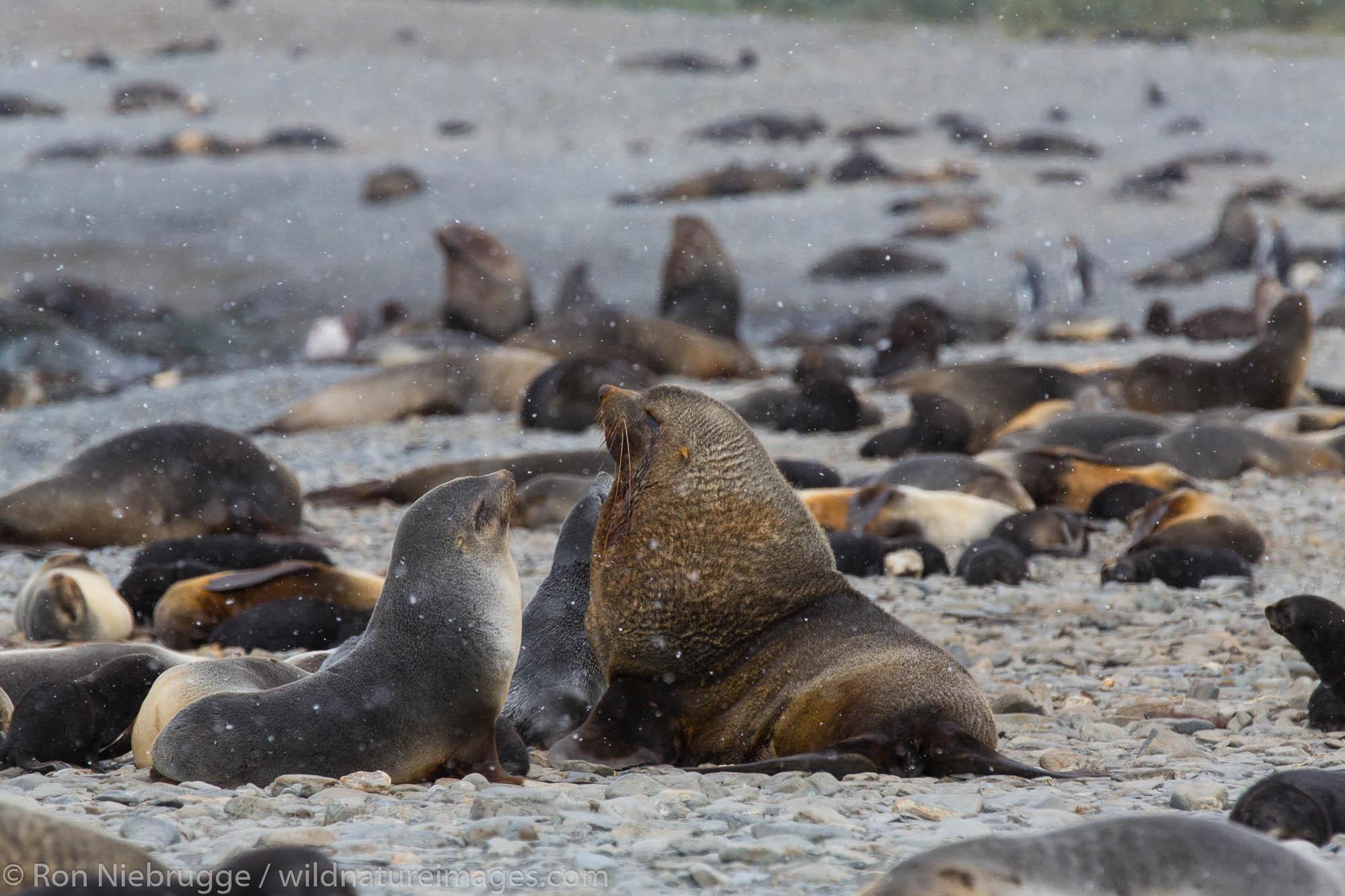 Antarctic Fur Seals, Fortuna Bay, South Georgia, Antarctica.