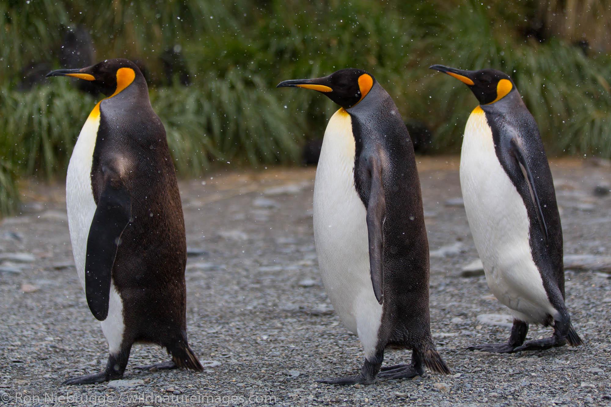 Fortuna Bay, South Georgia, Antarctica.
