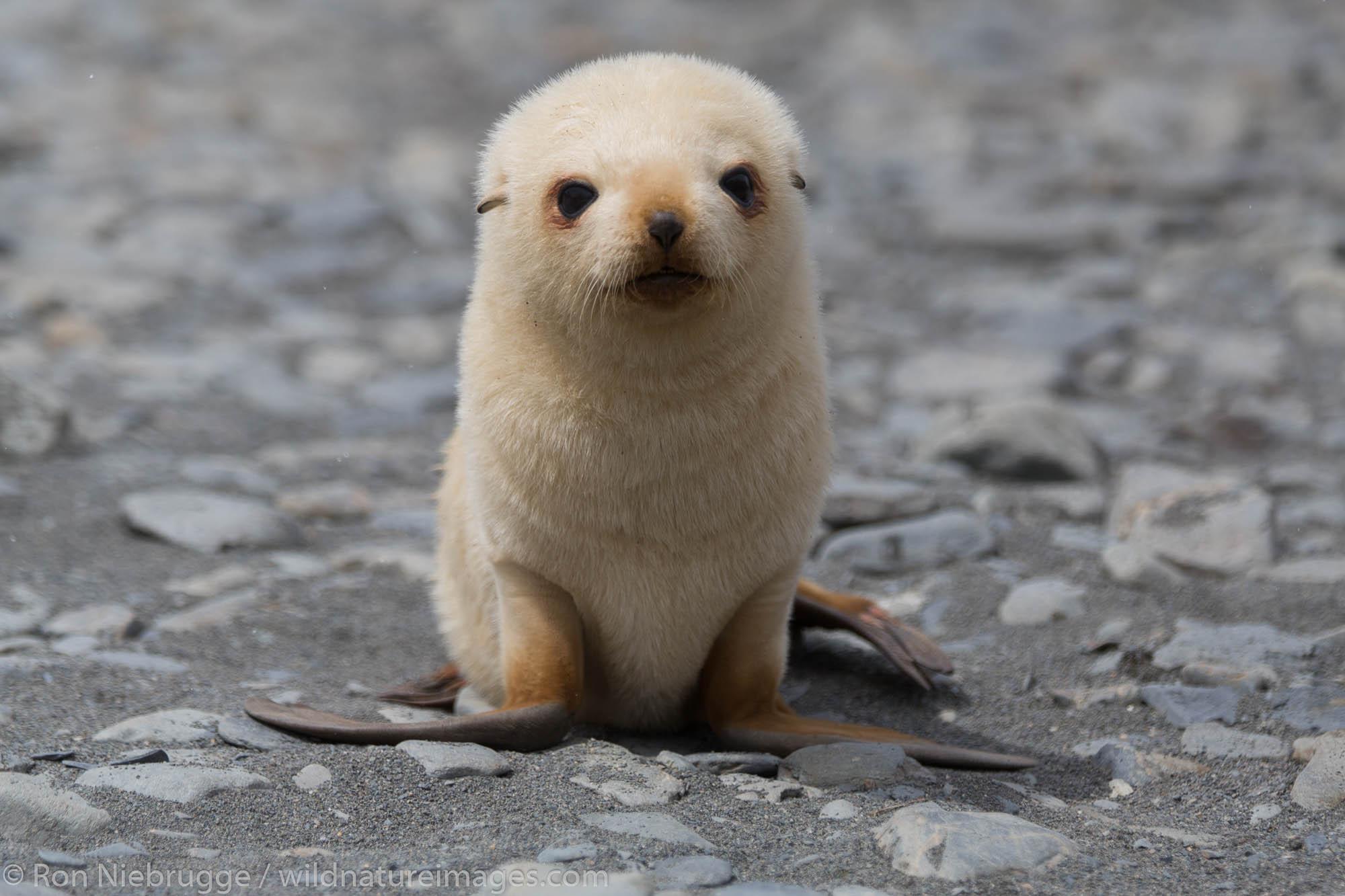 Leucistic Antarctic fur seal, Fortuna Bay, South Georgia, Antarctica.
