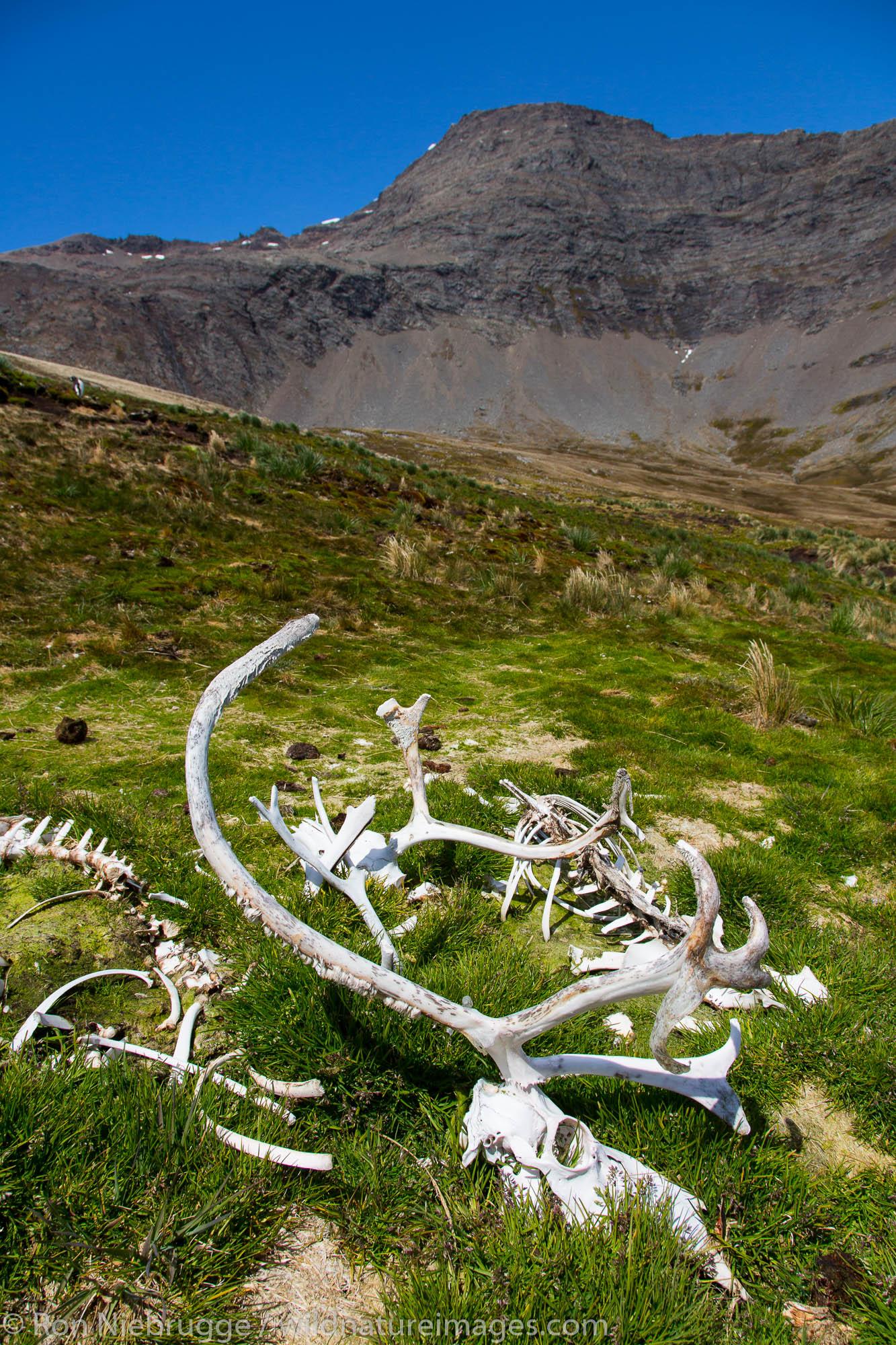Reindeer bones, Godthul Bay, South Georgia, Antarctica.