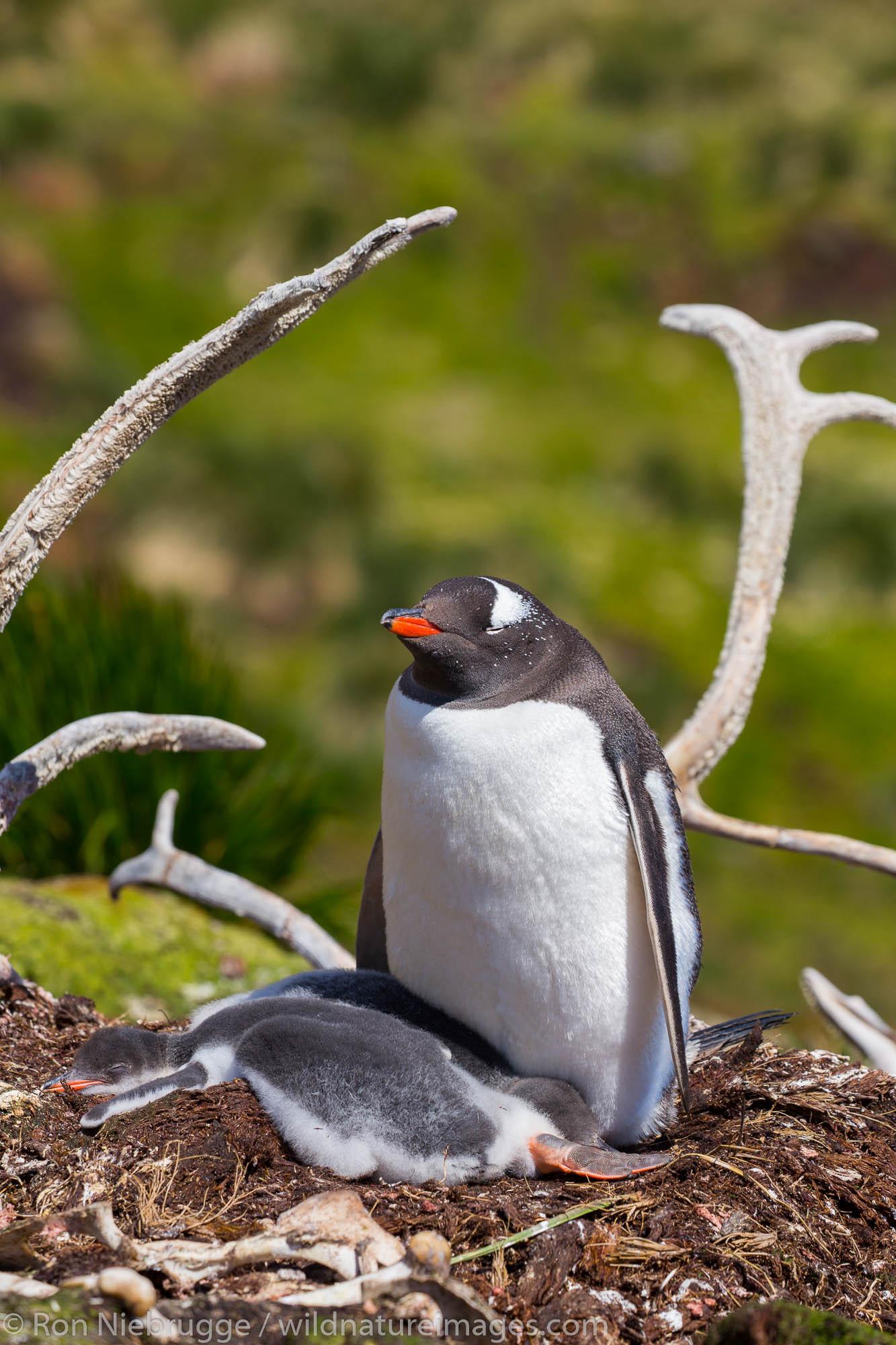 Gentoo penguins and reindeer bones, Godthul Bay, South Georgia, Antarctica.