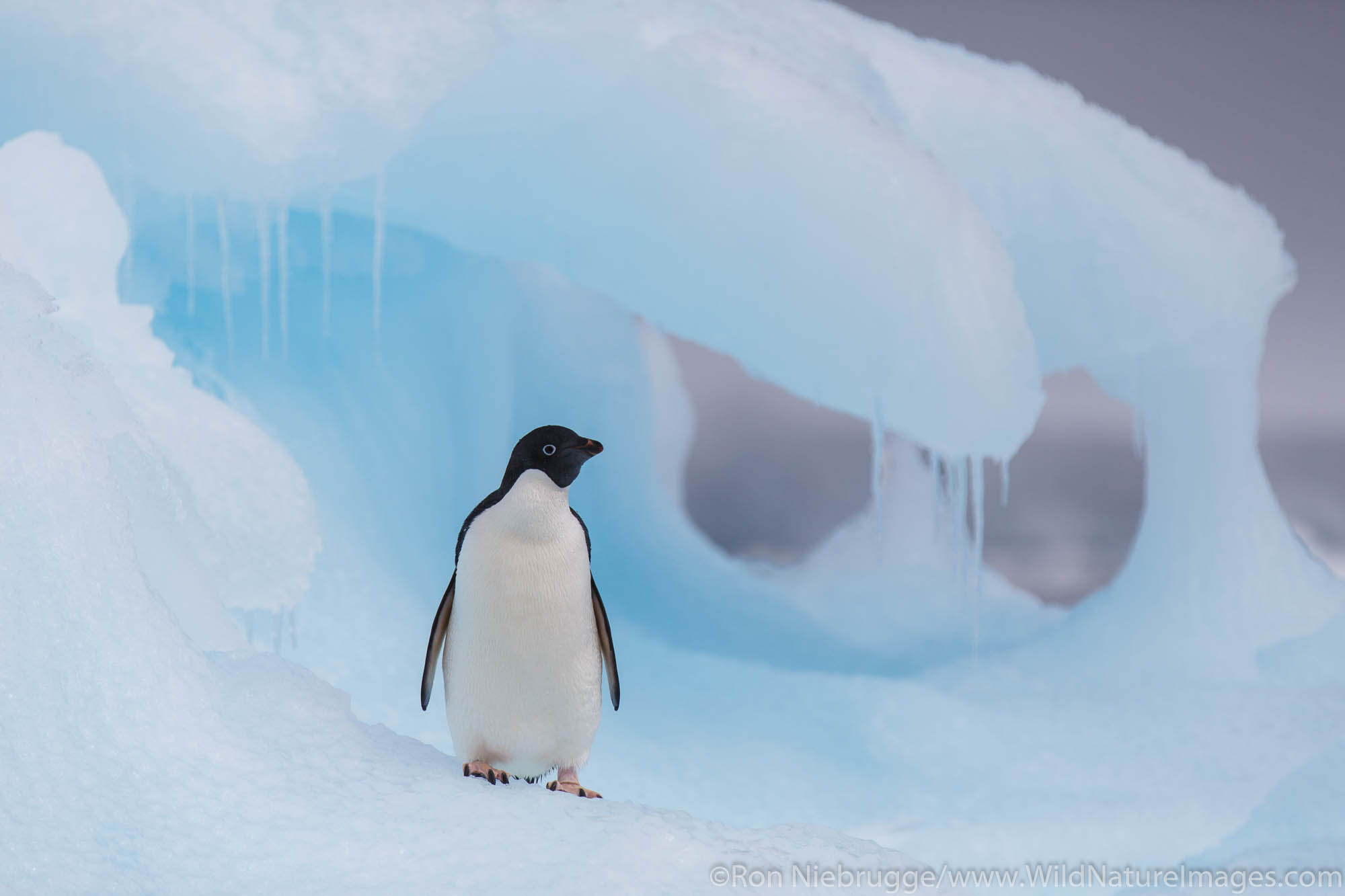 Adelie penguin, Hope Bay, Antarctica.