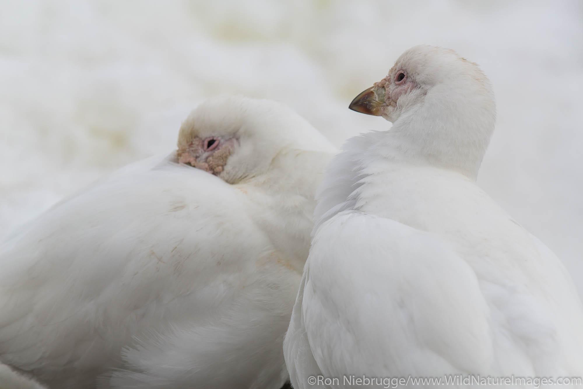 Pale-faced Sheathbill, Antarctica.