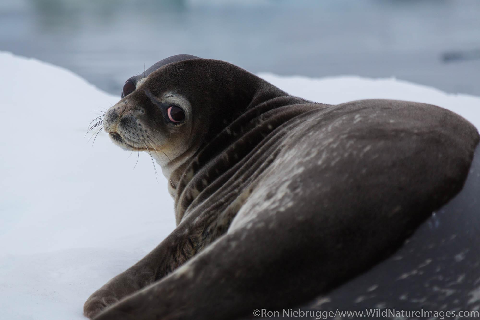 Weddel Seal, Antarctica.