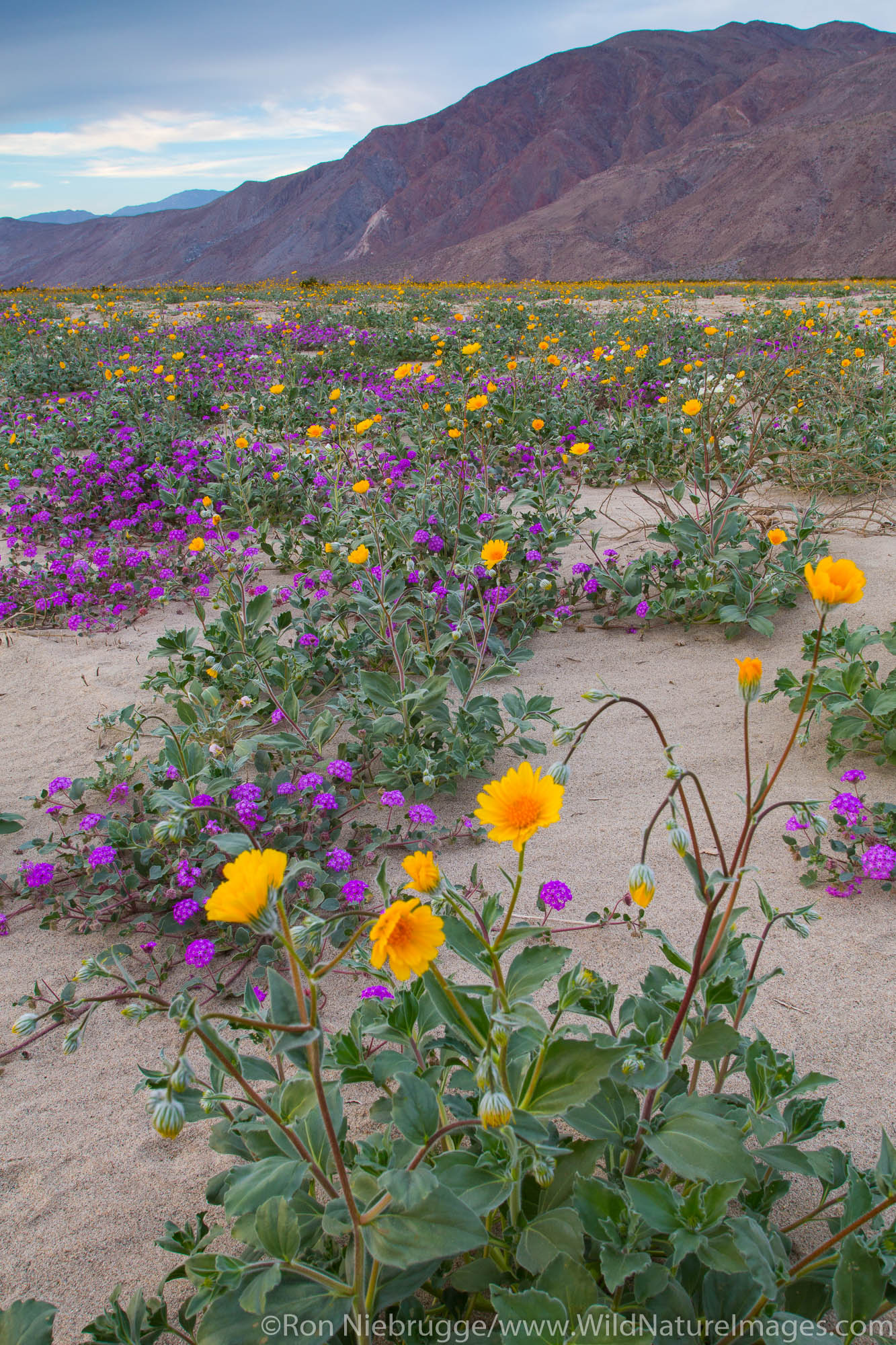Fields of wildflowers bloom in Anza-Borrego Desert State Park, California.
