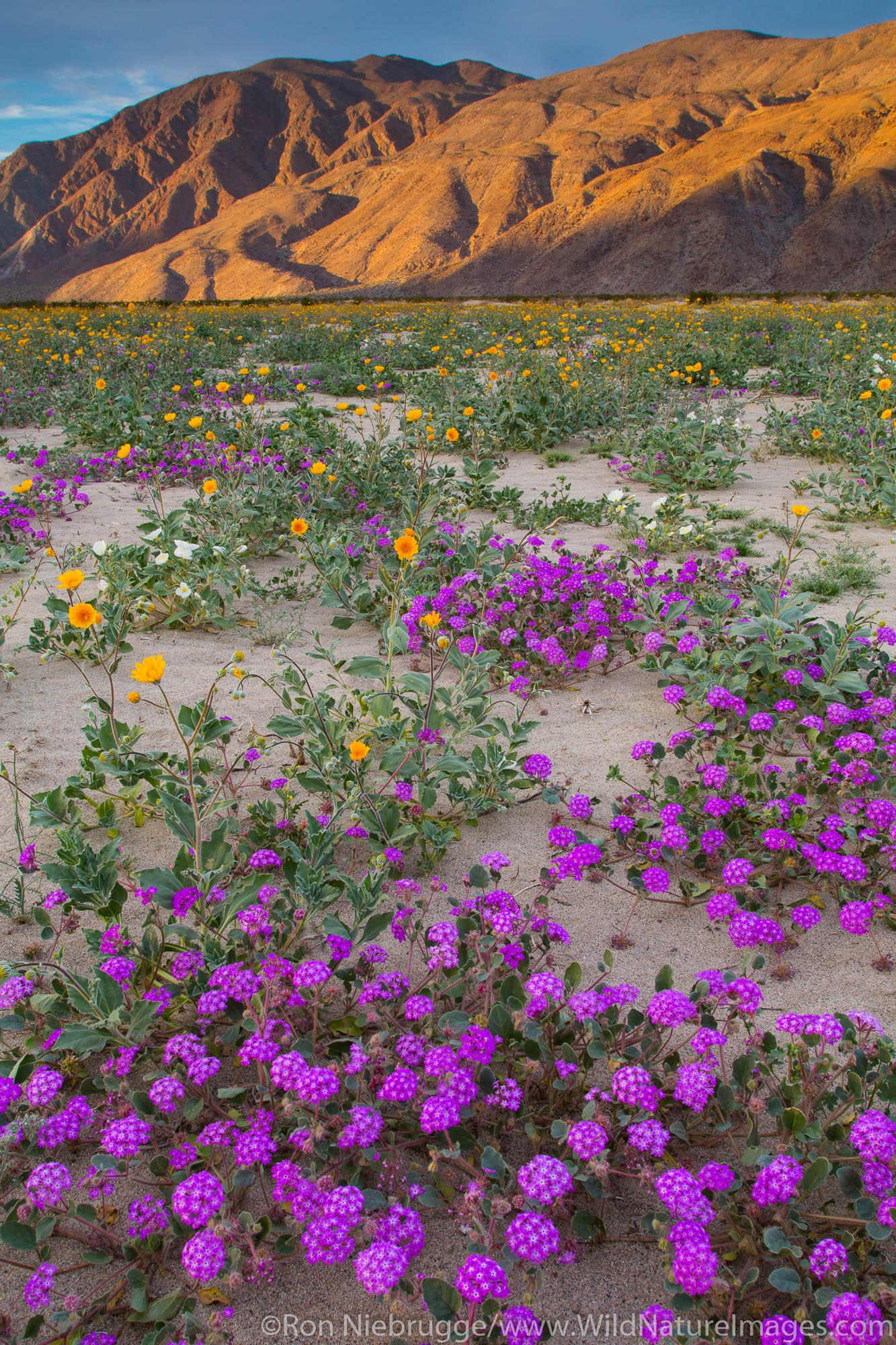 Fields of wildflowers bloom in Anza-Borrego Desert State Park, California.