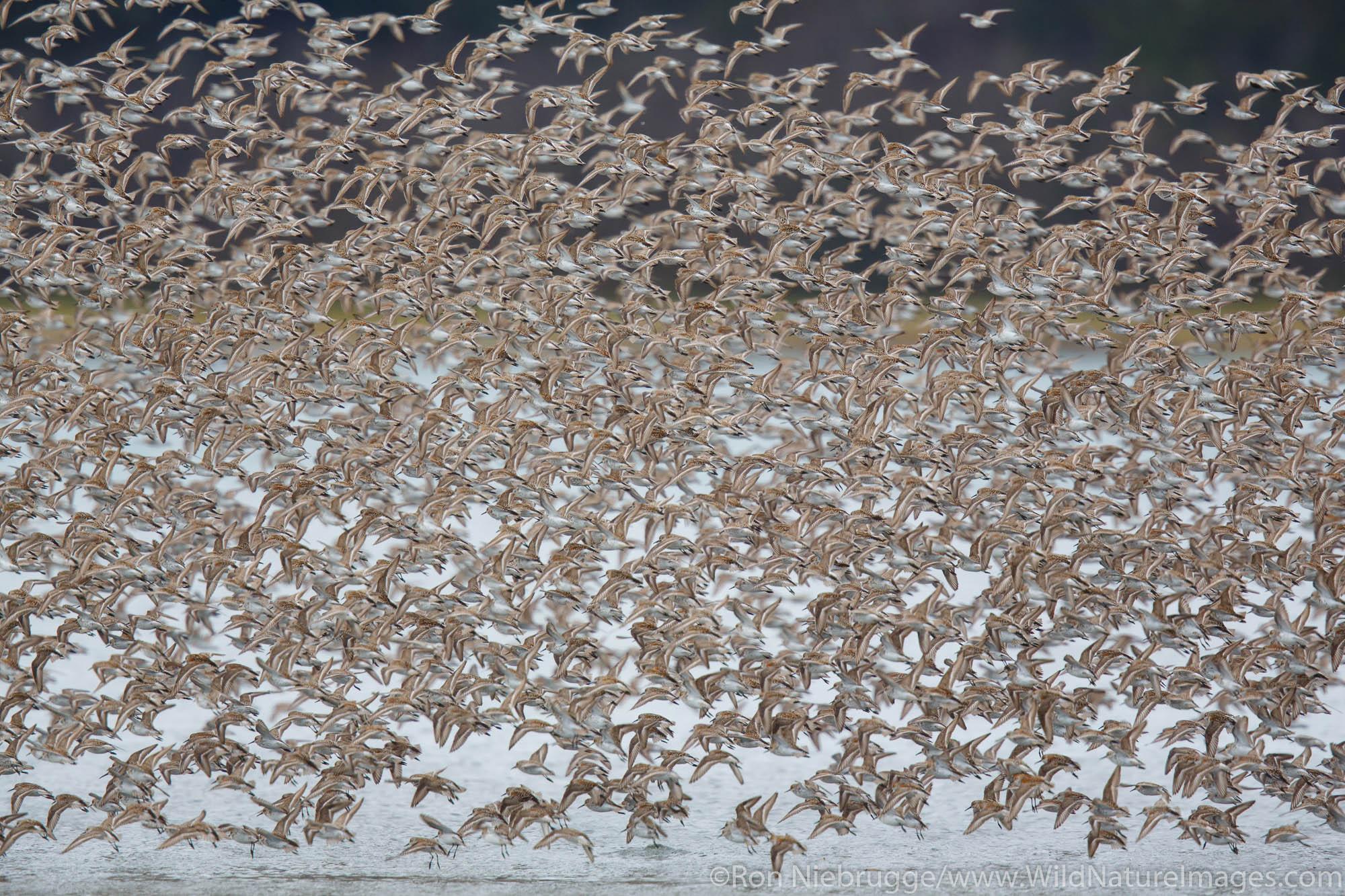 Shorebird migration, Prince William Sound, Chugach National Forest, Cordova Alaska.