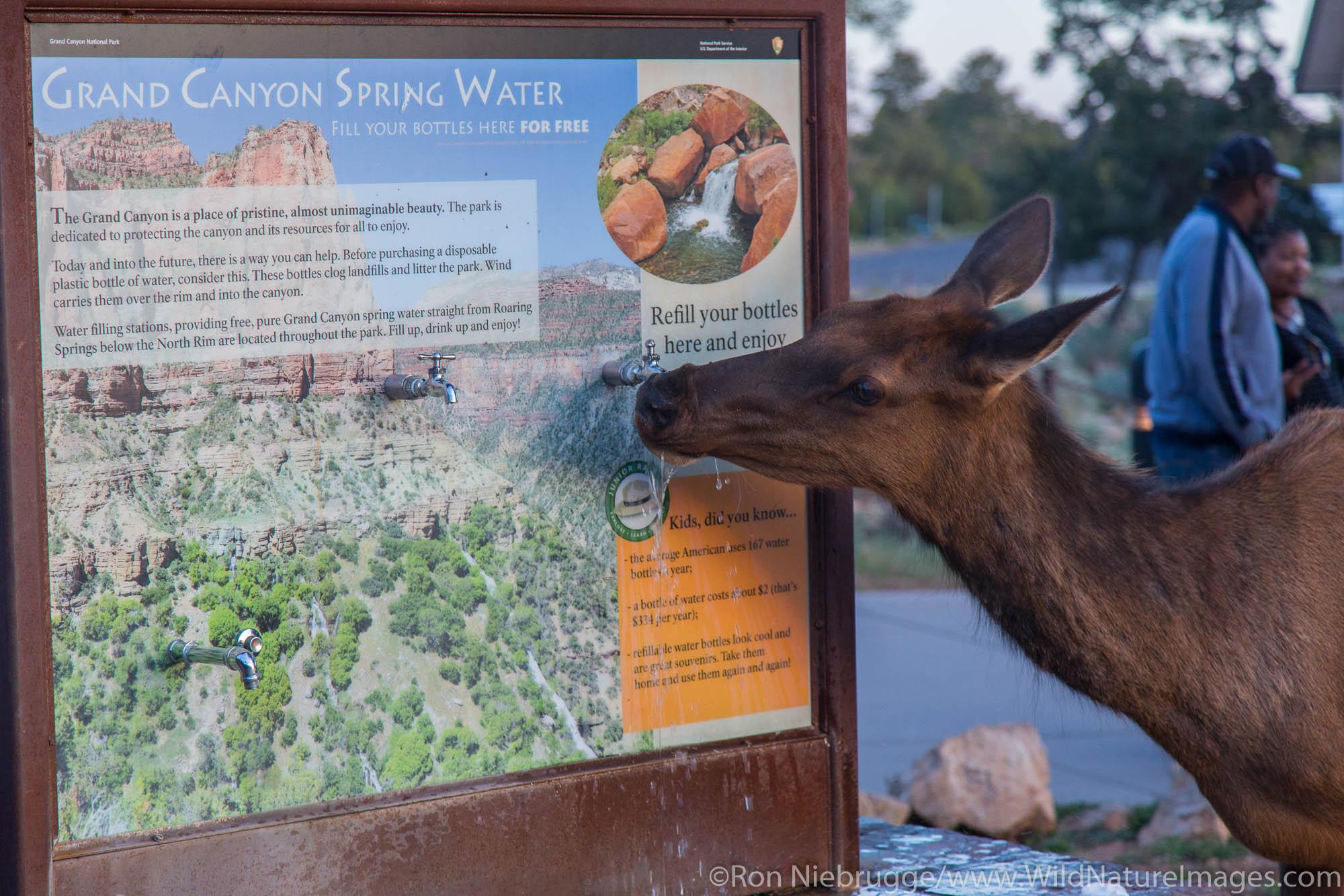 Elk at a water fountain, Grand Canyon National Park, Arizona.