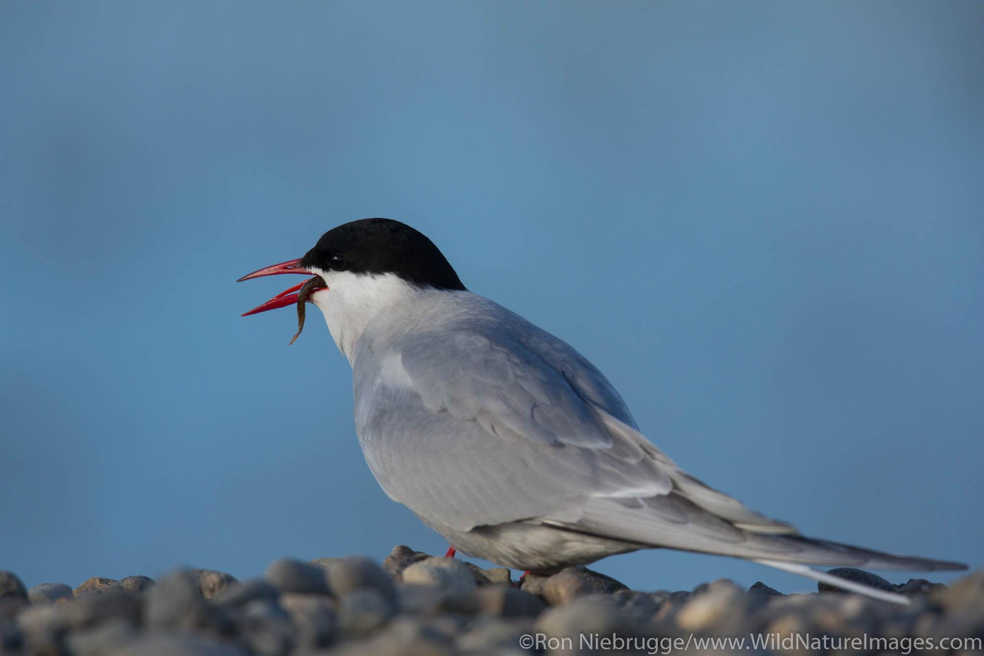 Arctic tern (Sterna paradisaea),Arctic Alaska.