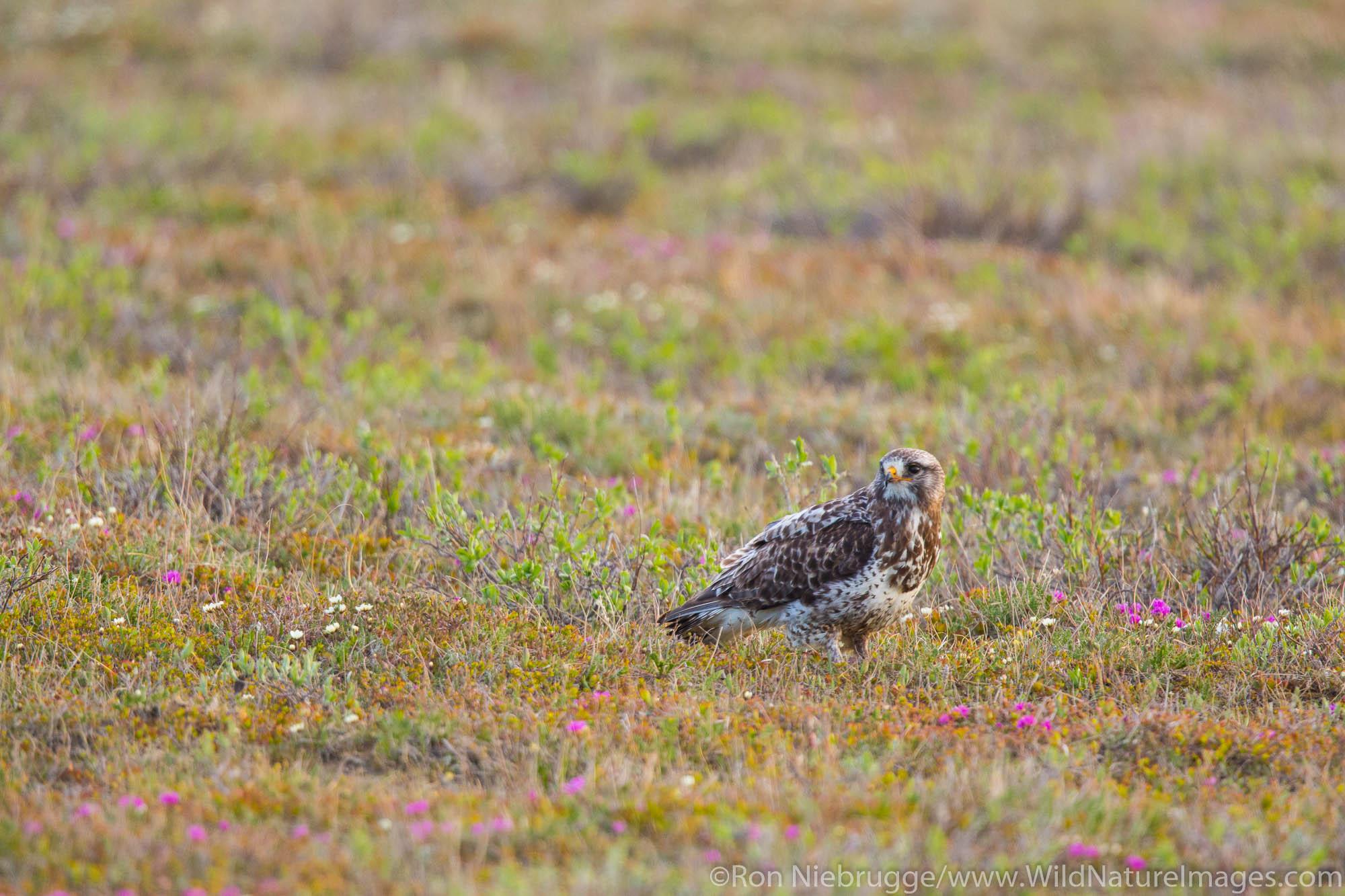 Rough-legged Hawk (Buteo lagopus), Arctic Alaska.