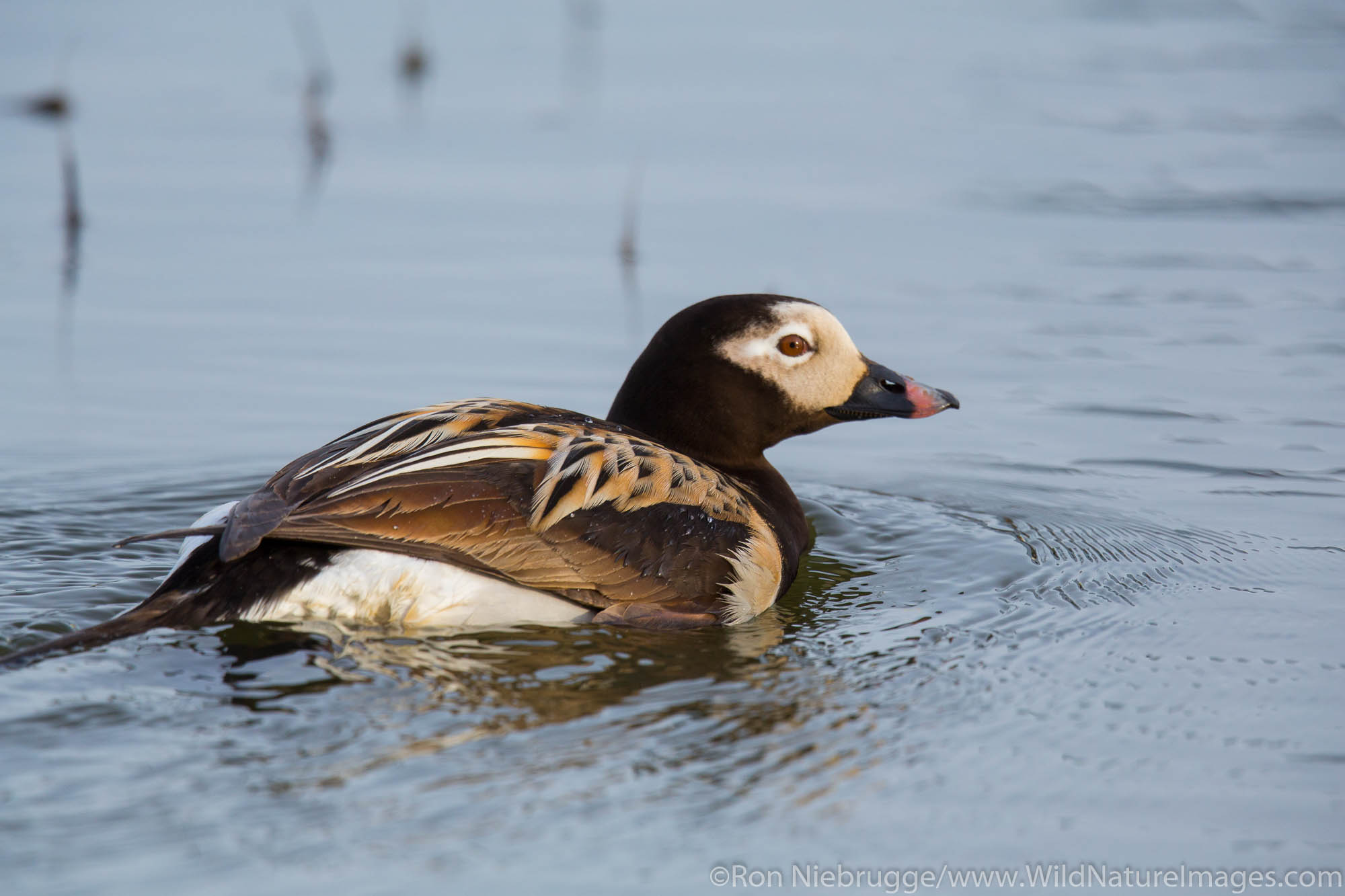 Long-tailed duck (Clangula hyemalis), once known as oldsquaw, Arctic Alaska.