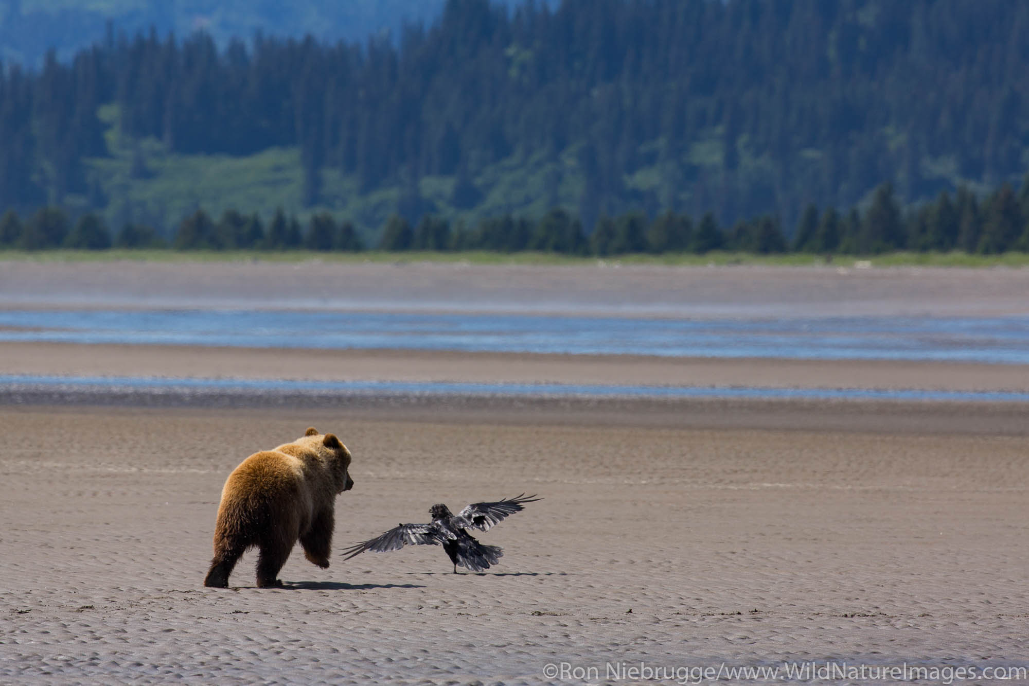A Brown or Grizzly Bear, Lake Clark National Park, Alaska.