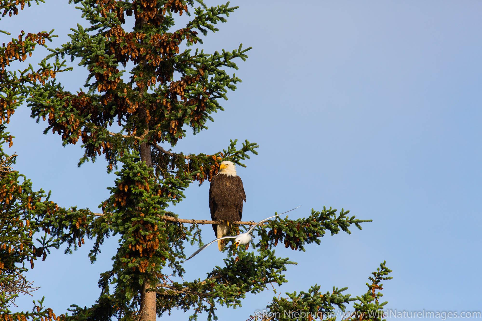 Bald Eagle, Lake Clark National Park, Alaska.