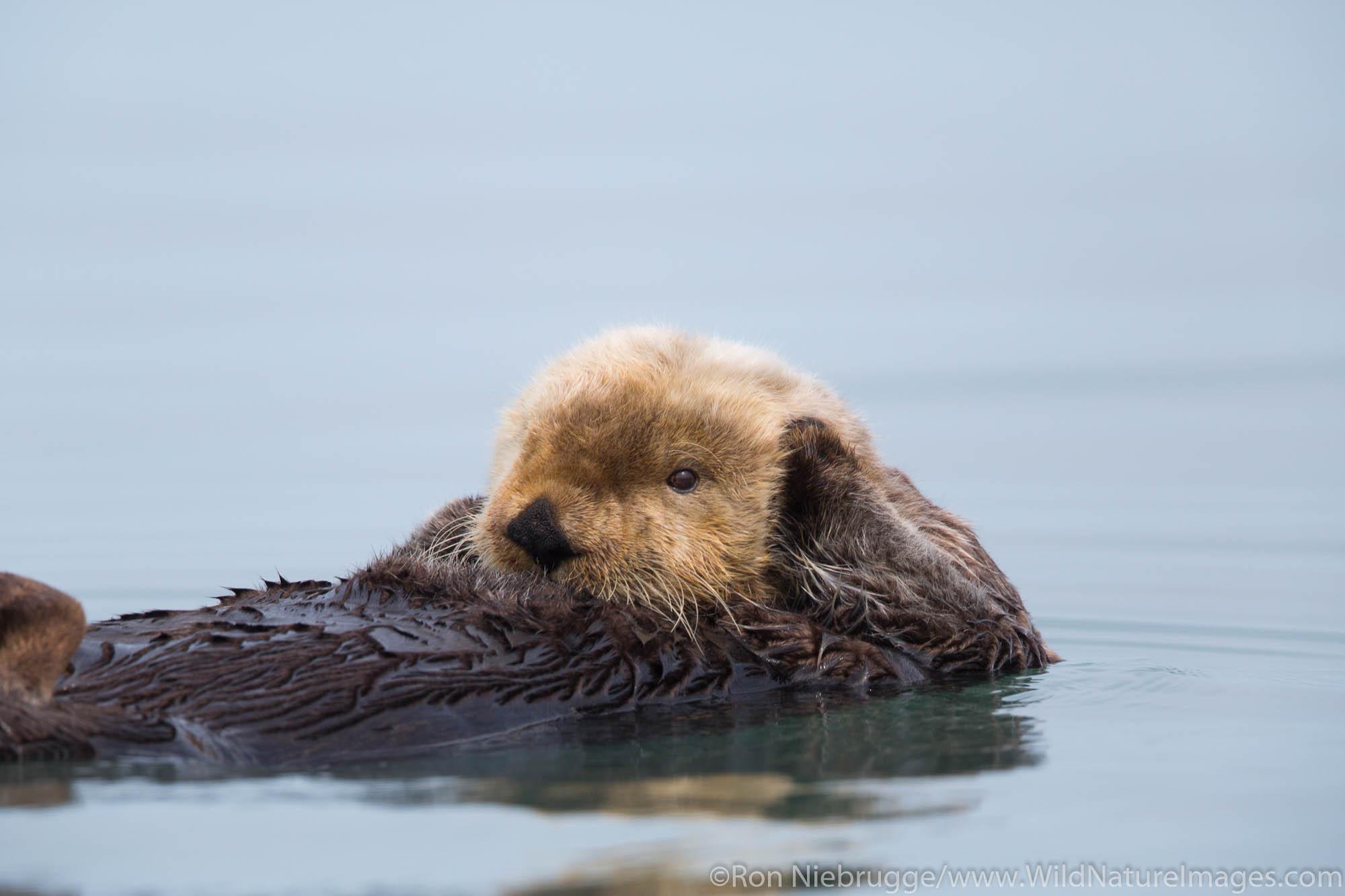 A sea otter, off the coast of Lake Clark National Park, Alaska.