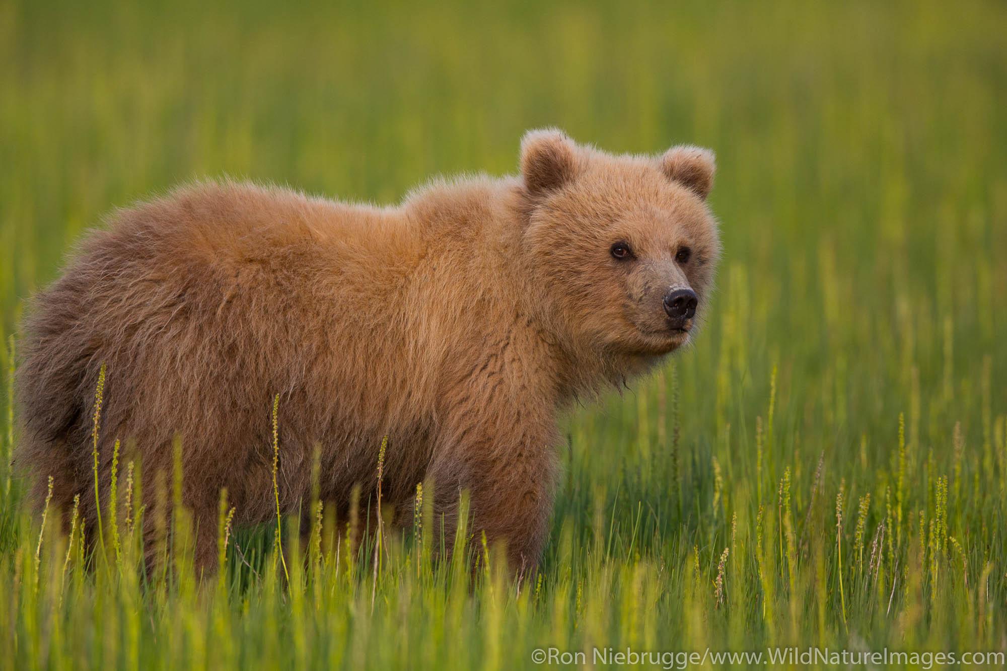 A Brown or Grizzly Bear, Lake Clark National Park, Alaska.