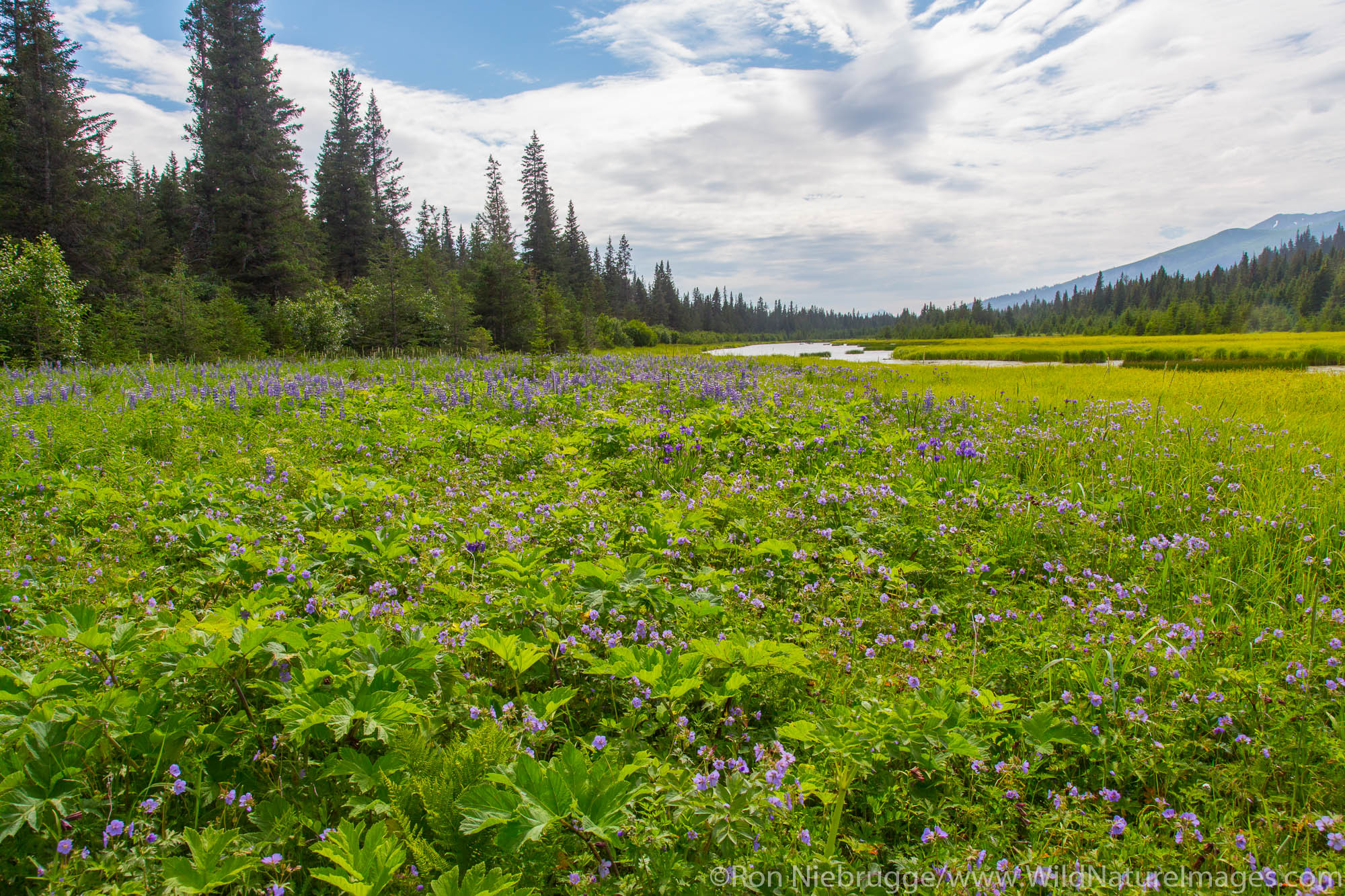 Meadow of wildflowers, Lake Clark National Park, Alaska.