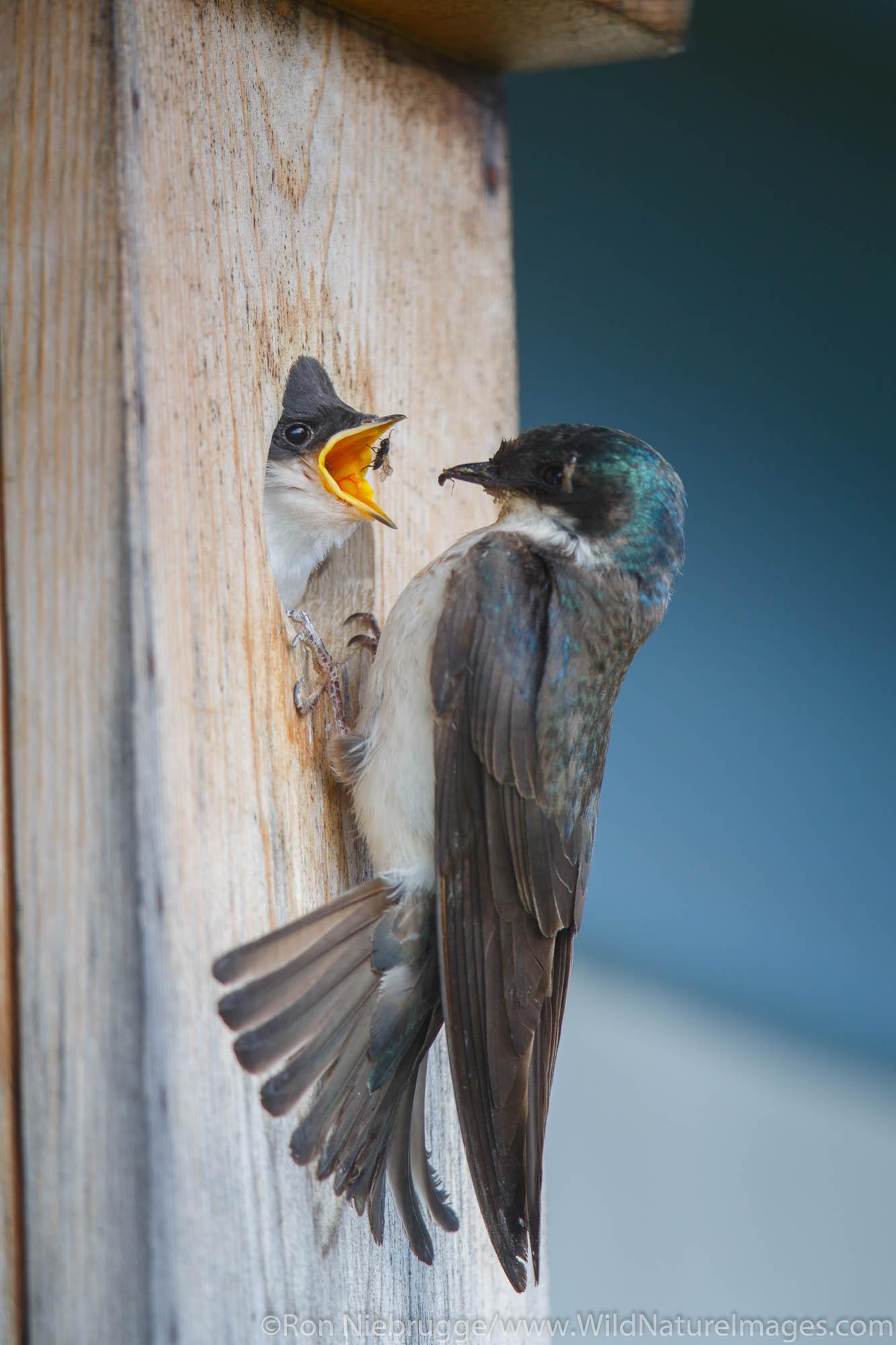 Tree Swallow, Seward, Alaska.