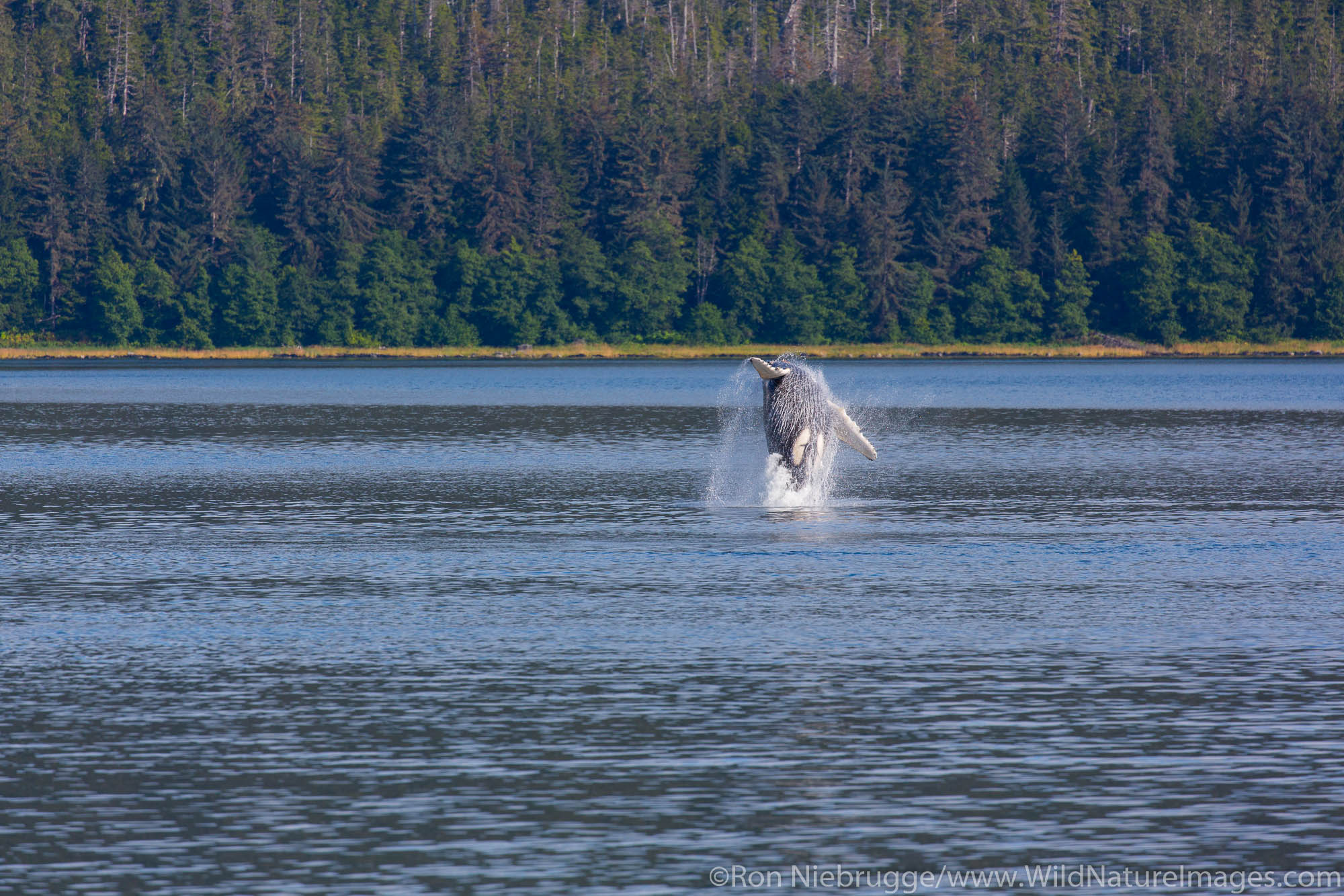 Humpback whale, Tongass National Forest, Alaska.
