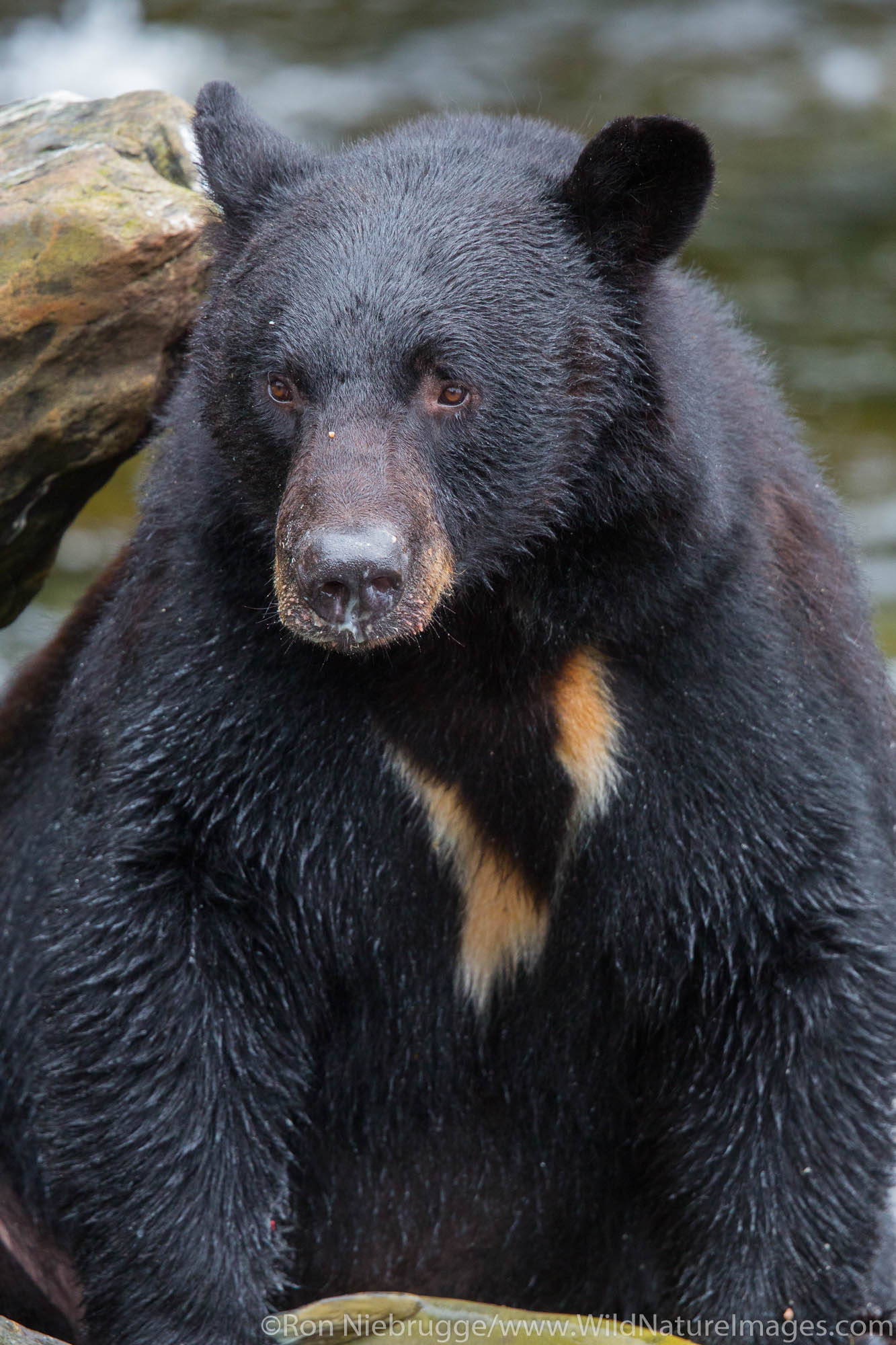 Black bear at Neets Bay, Tongass National Forest, Alaska.