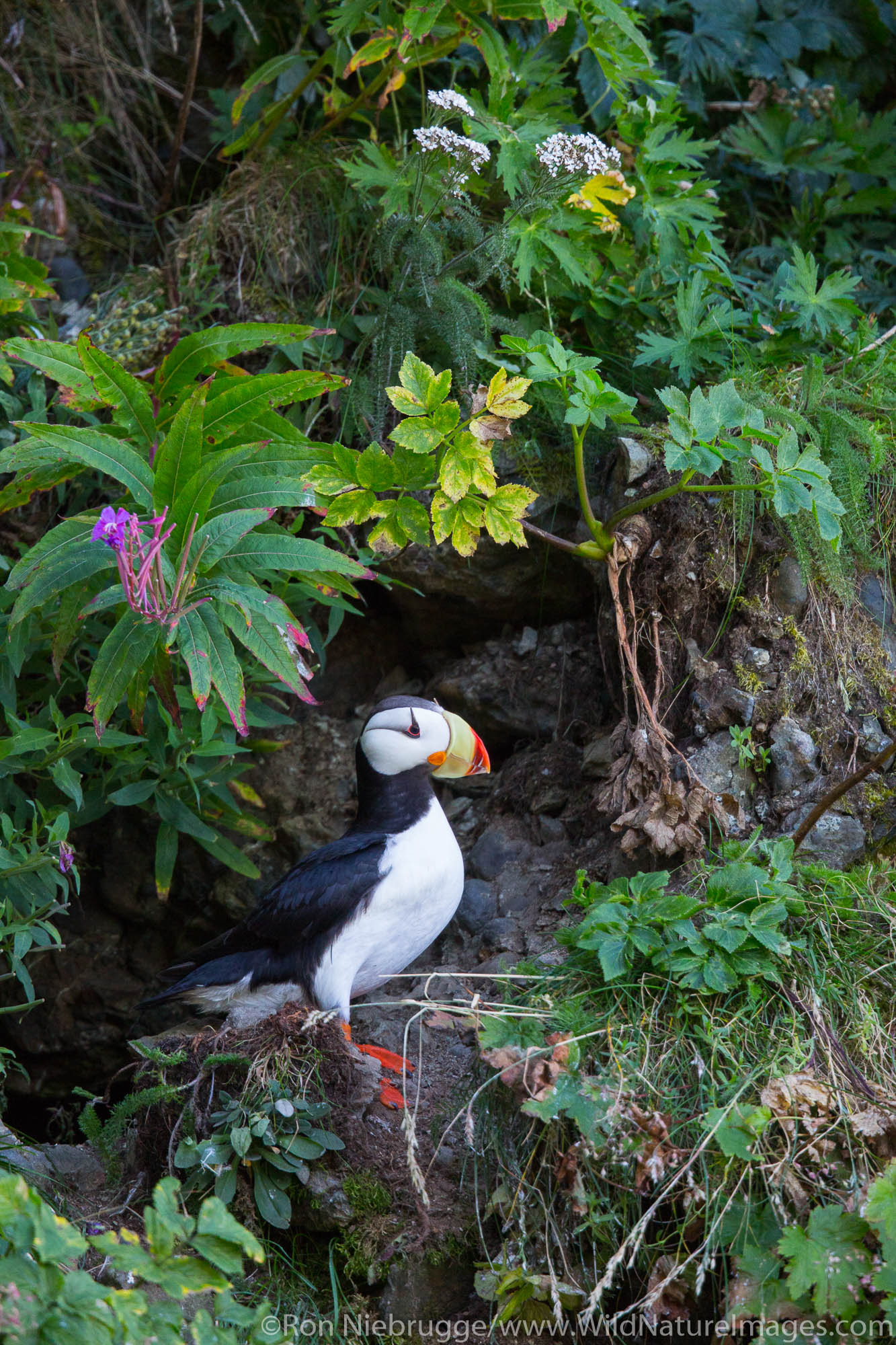 Horned puffin on the coast of Lake Clark National Park, Alaska.