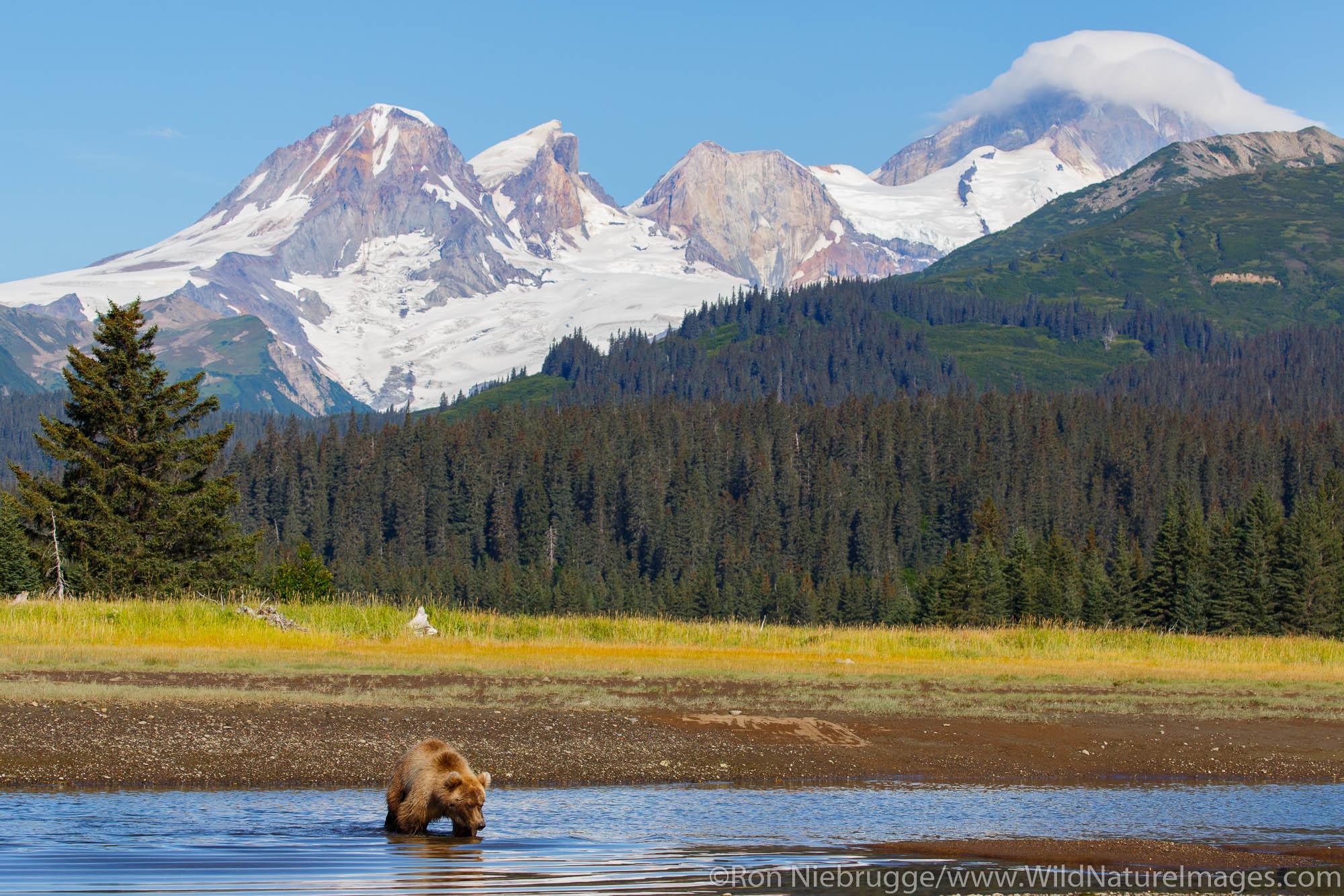 Brown / Grizzly Bear with Mount Iliamna volcano, Lake Clark National Park, Alaska.