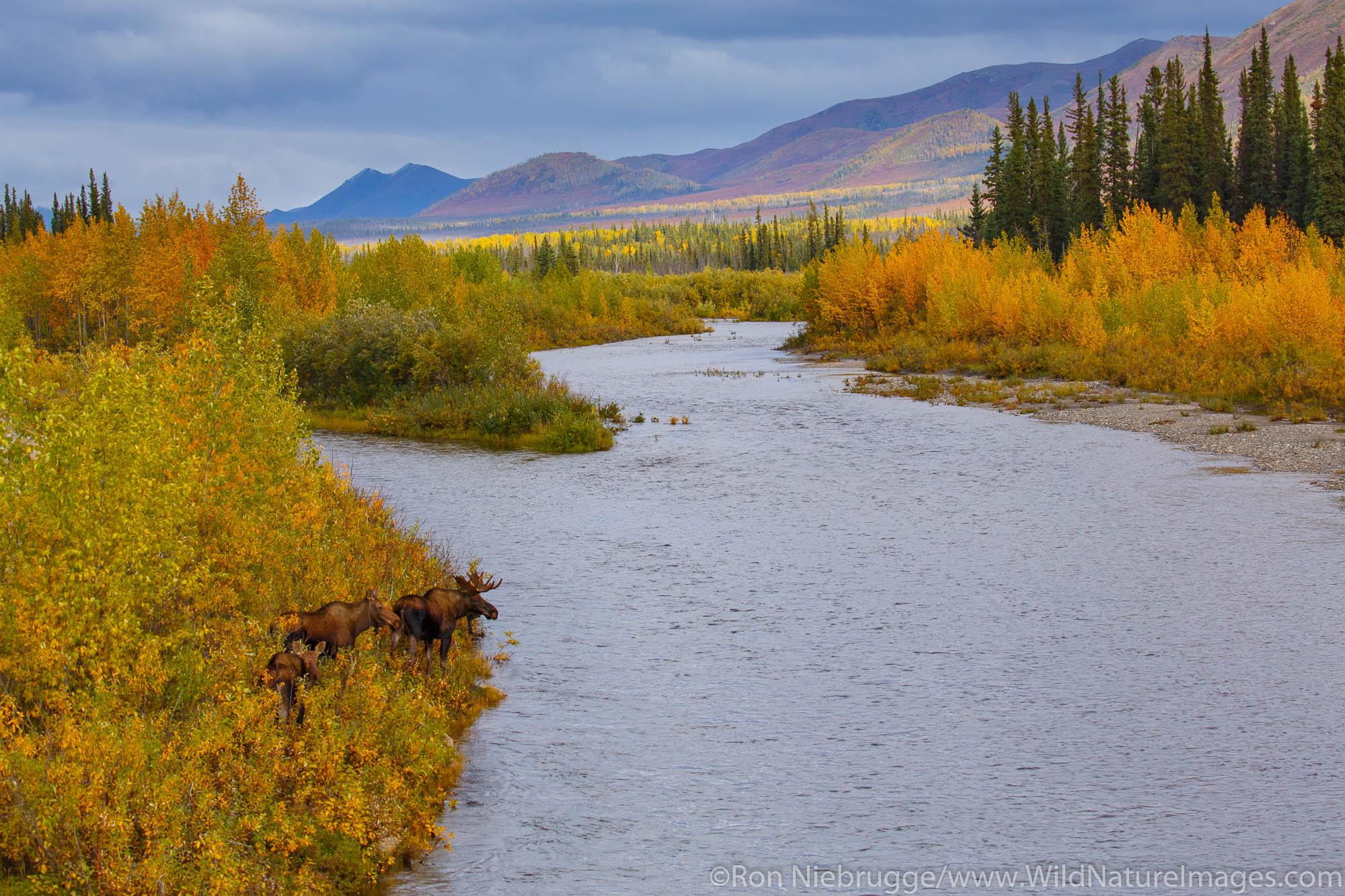 Moose in the autumn colors along the Dalton Highway, Alaska.