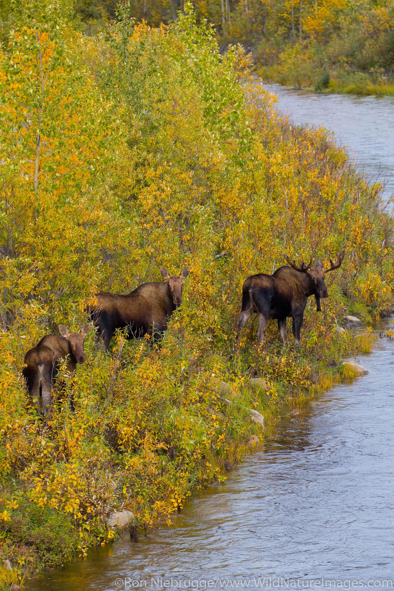 Moose in the autumn colors along the Dalton Highway Alaska.