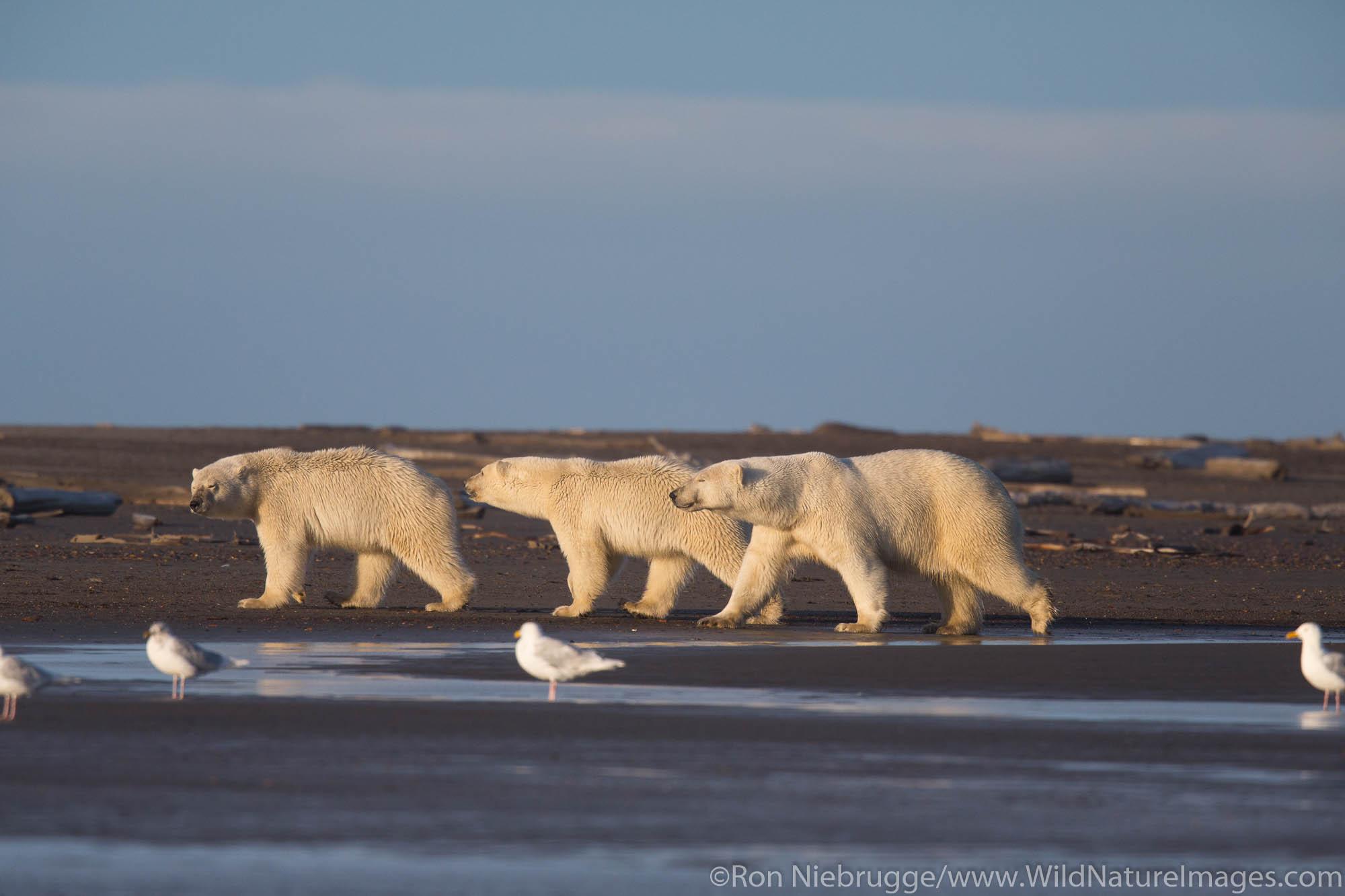 Polar bears (Ursus maritimus),  Arctic National Wildlife Refuge, Alaska.