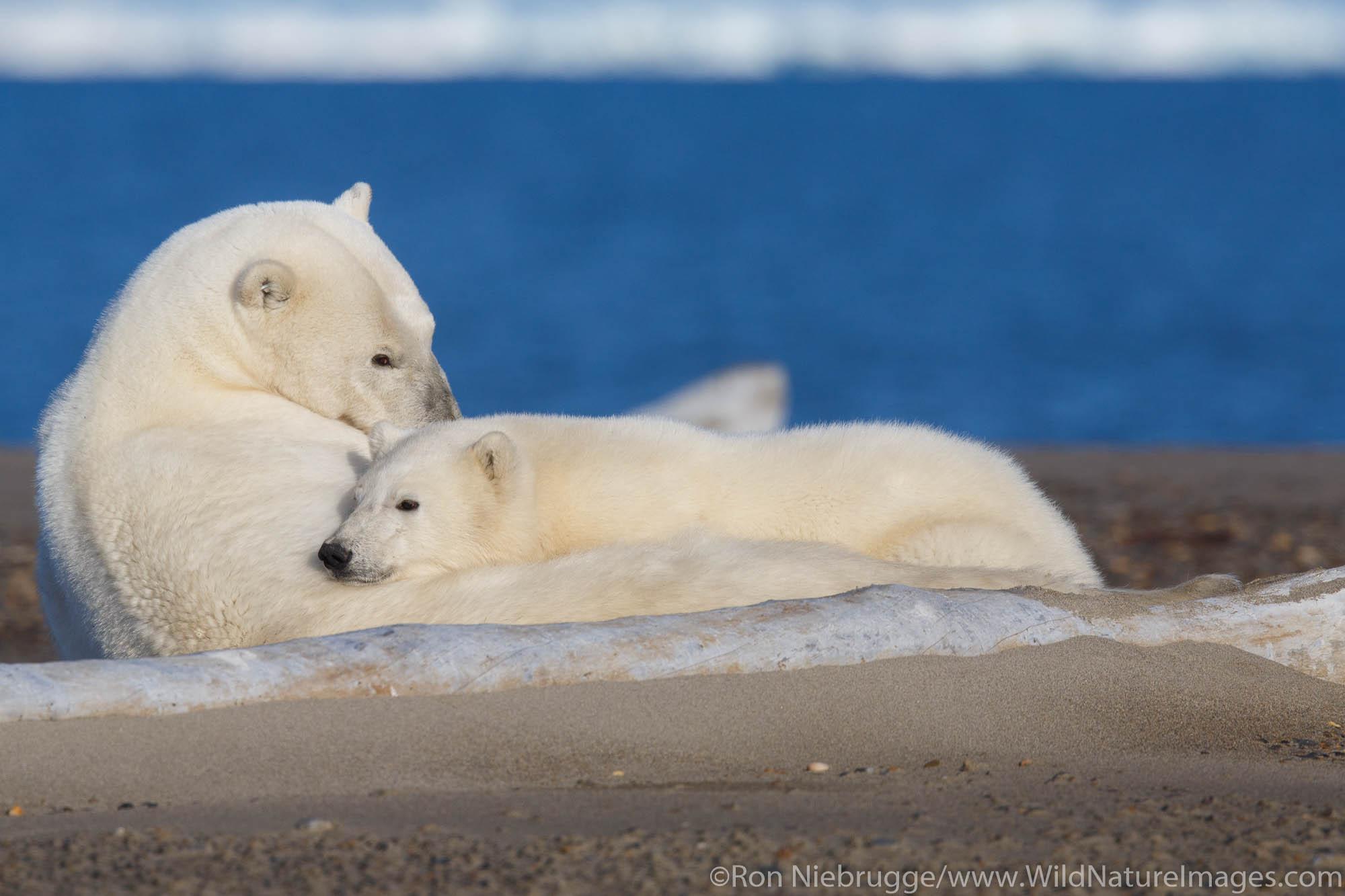 Polar bears (Ursus maritimus) Arctic National Wildlife Refuge Alaska.