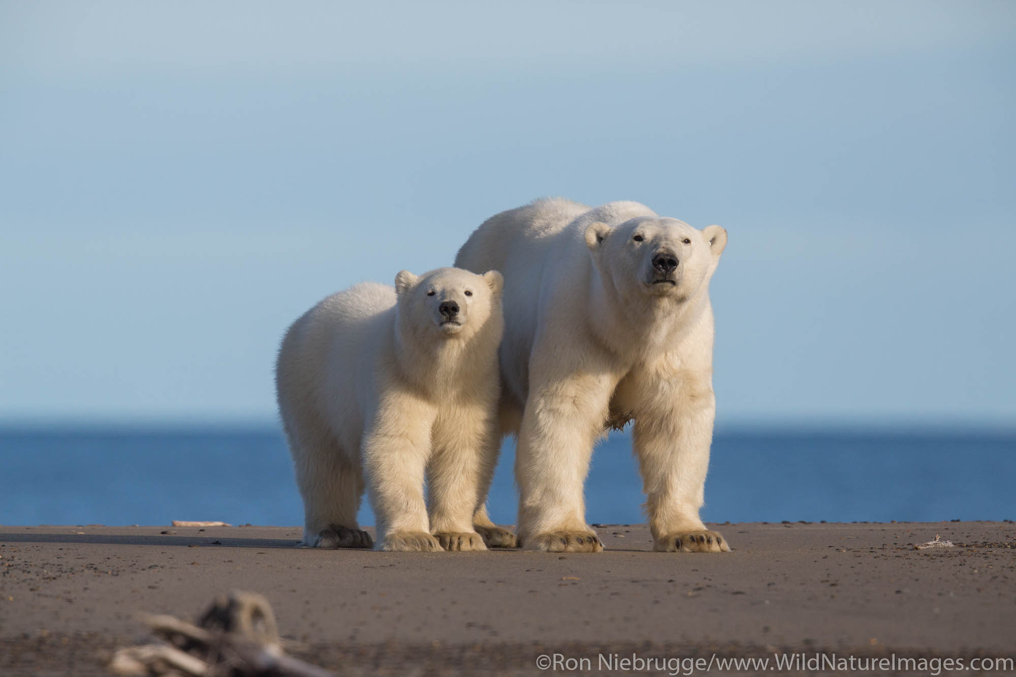 Polar bears (Ursus maritimus) Arctic National Wildlife Refuge Alaska.