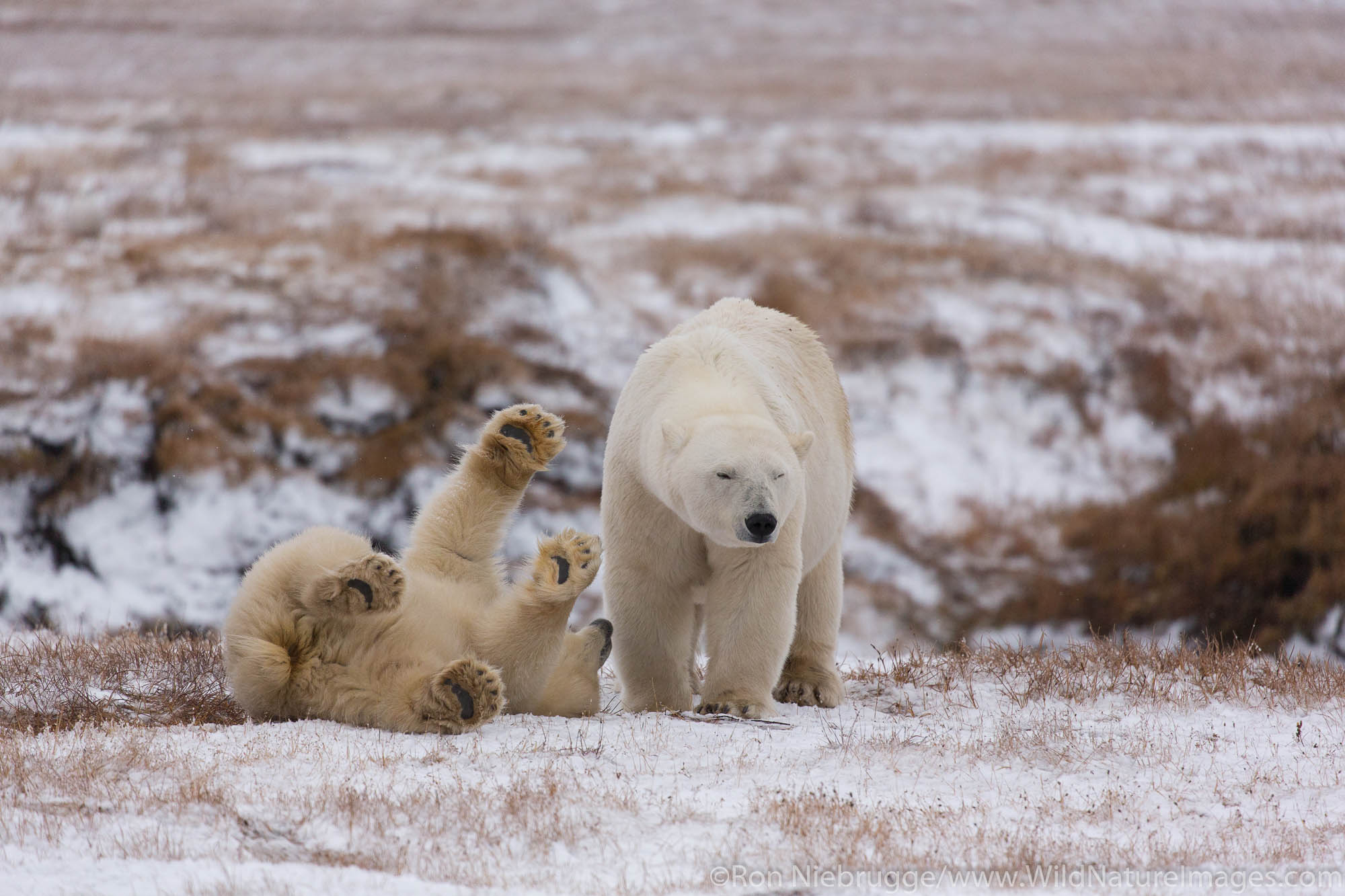 Polar bears (Ursus maritimus),  Arctic National Wildlife Refuge, Alaska.