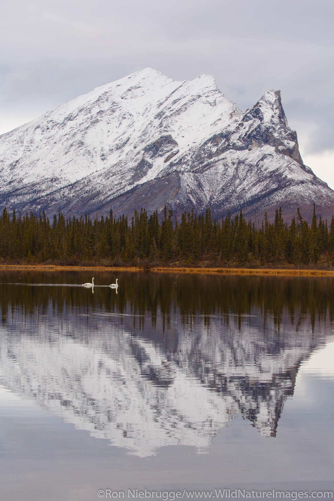 Tundra swan in the Brooks Range along the Dalton Highway Alaska.