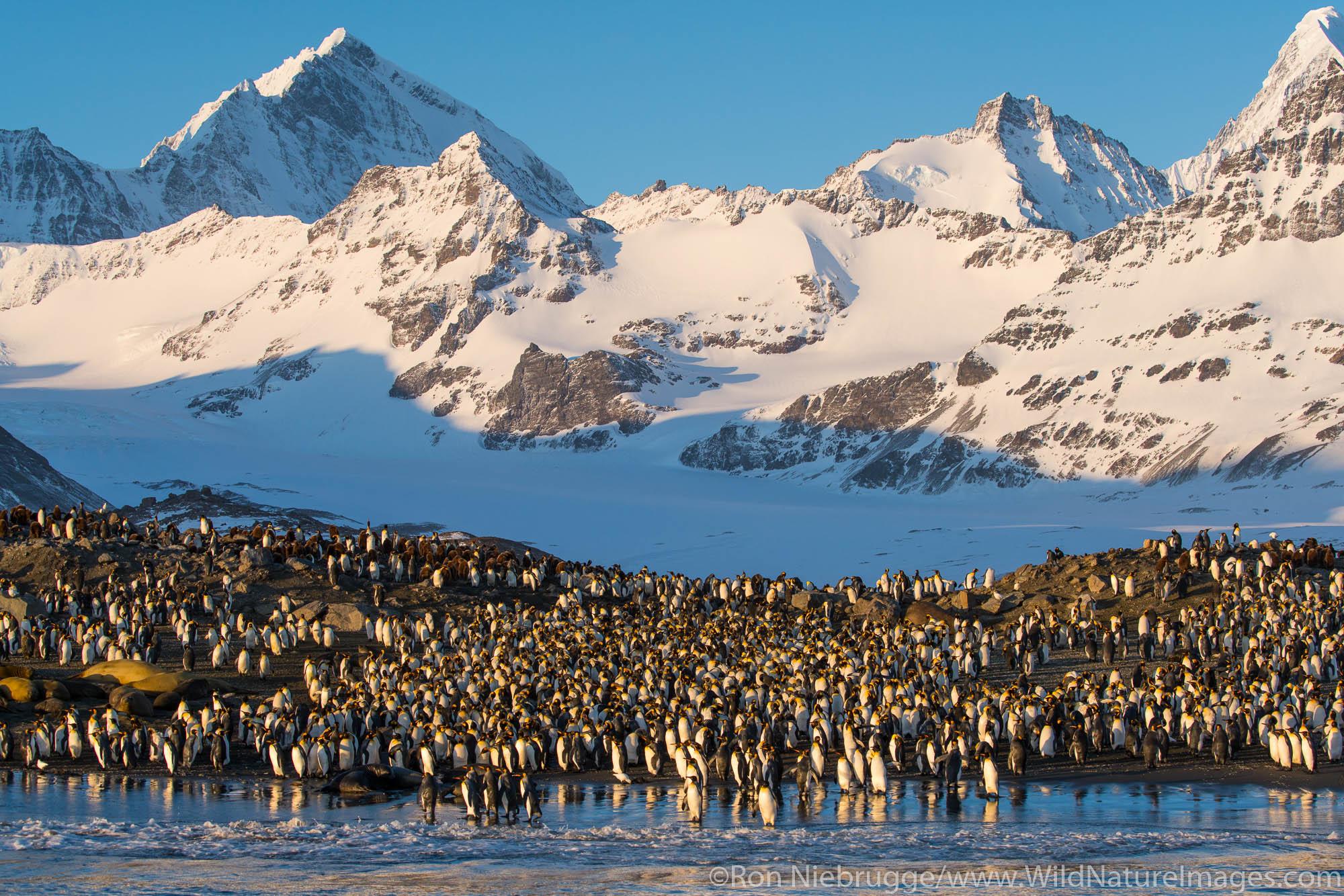 King penguins at St. Andrews Bay, South Georgia, Antarctica.