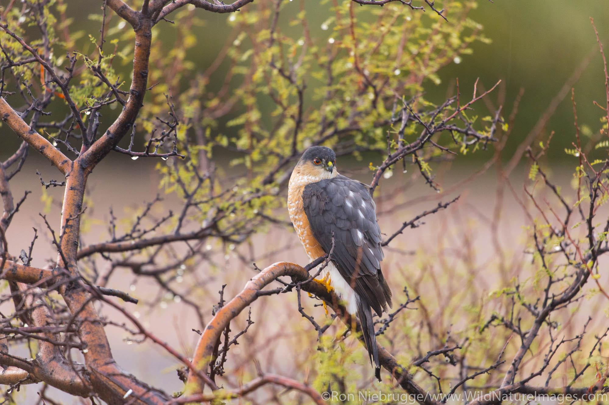 Sharp-shinned Hawk, McDowell Mountain Regional Park, Near Fountain Hills and East of Phoenix, Arizona.