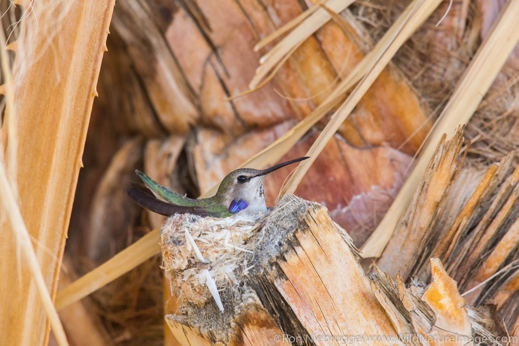 Nesting Anna's humming bird, Anza-Borrego Desert State Park, California.