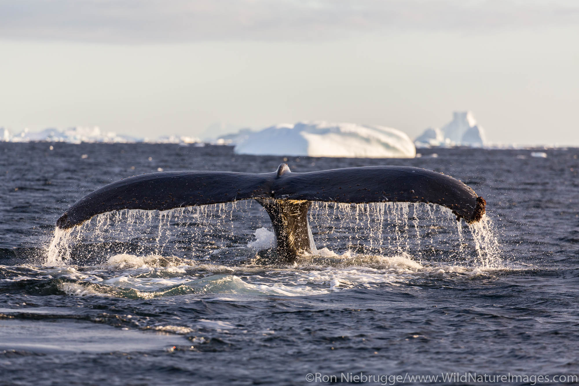 Humpback whales, Lemaire Channel, Antarctica.