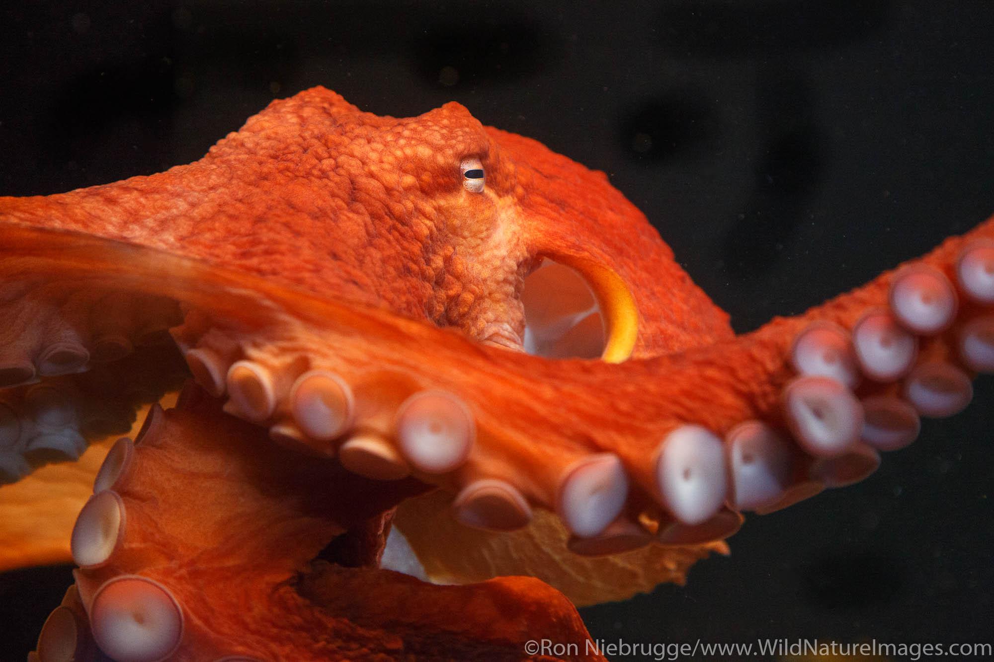 Giant Pacific Octopus, Alaska SeaLife Center, Seward, Alaska.
