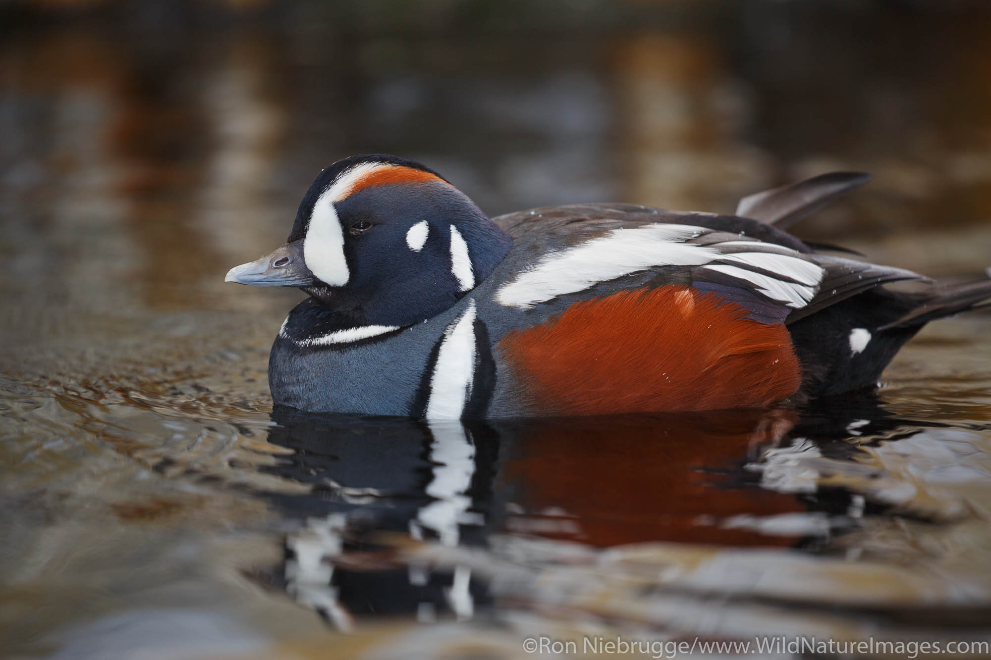 Harlequin Duck, Alaska SeaLife Center, Seward, Alaska.