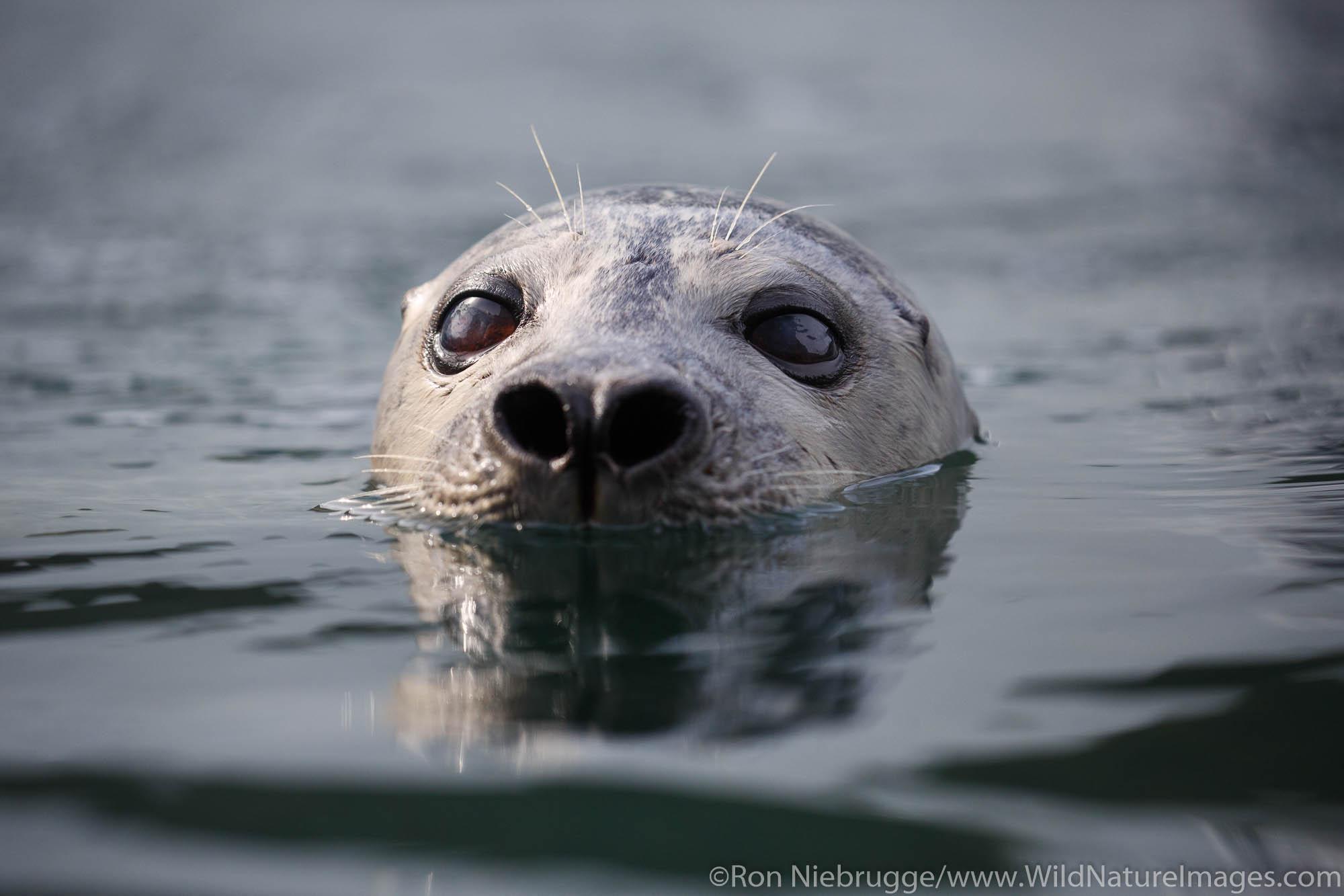 Harbor Seal, Alaska SeaLife Center, Seward, Alaska