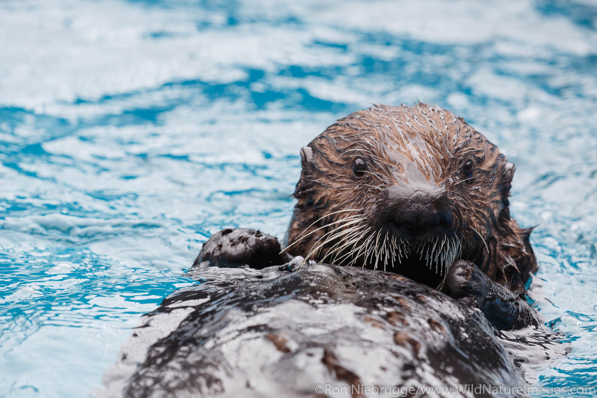 Sea Otter, Alaska SeaLife Center, Seward, Alaska